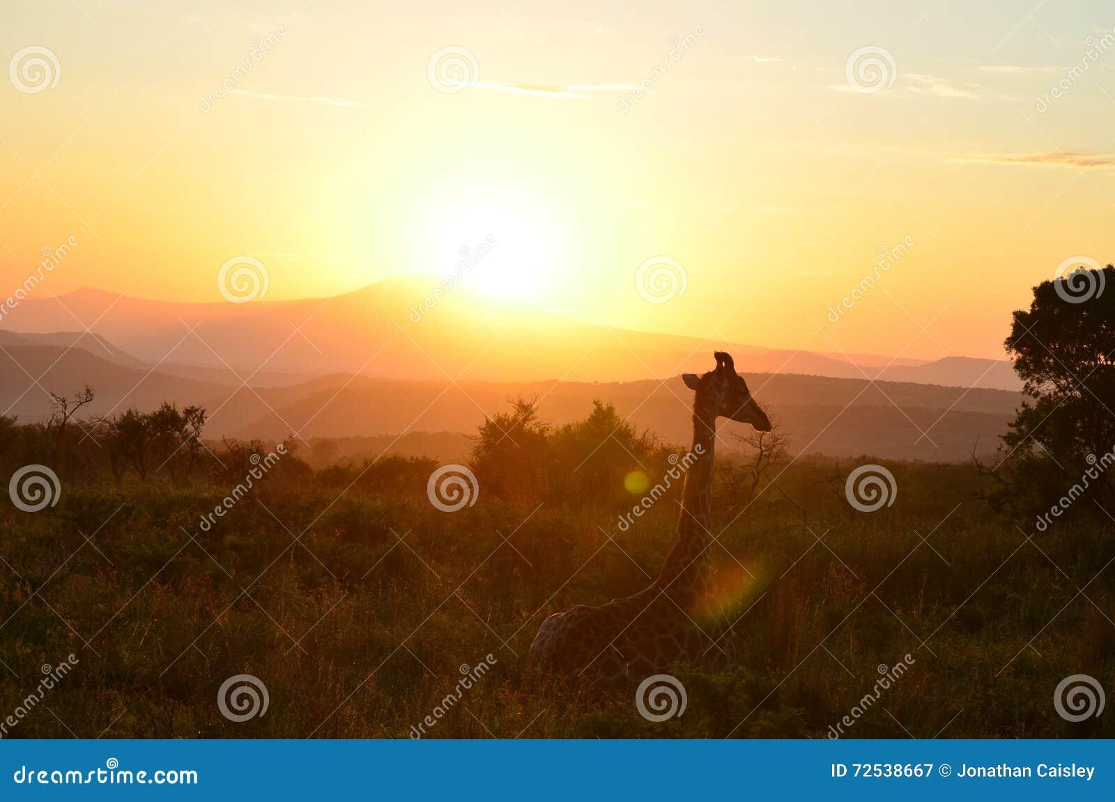 Guten Morgen Stockbild Bild Von Sonnenaufgang Giraffe