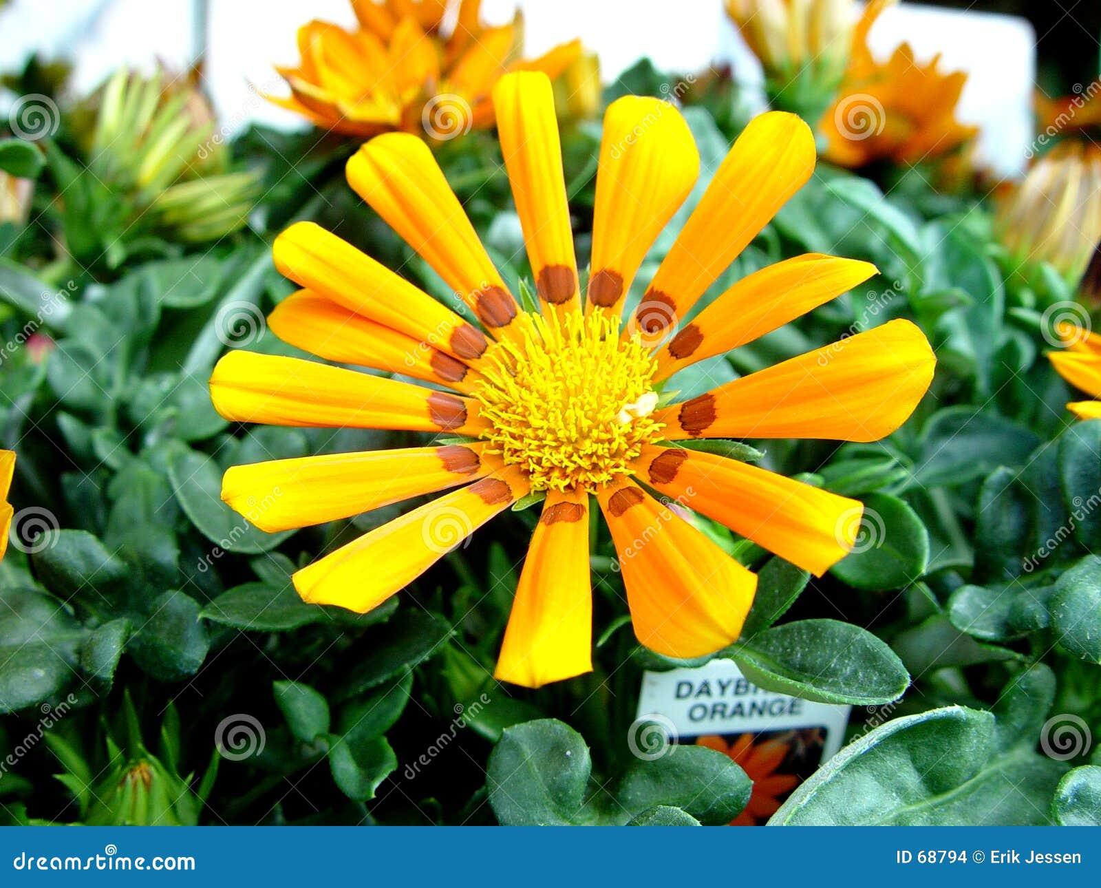 Guzania λουλουδιών