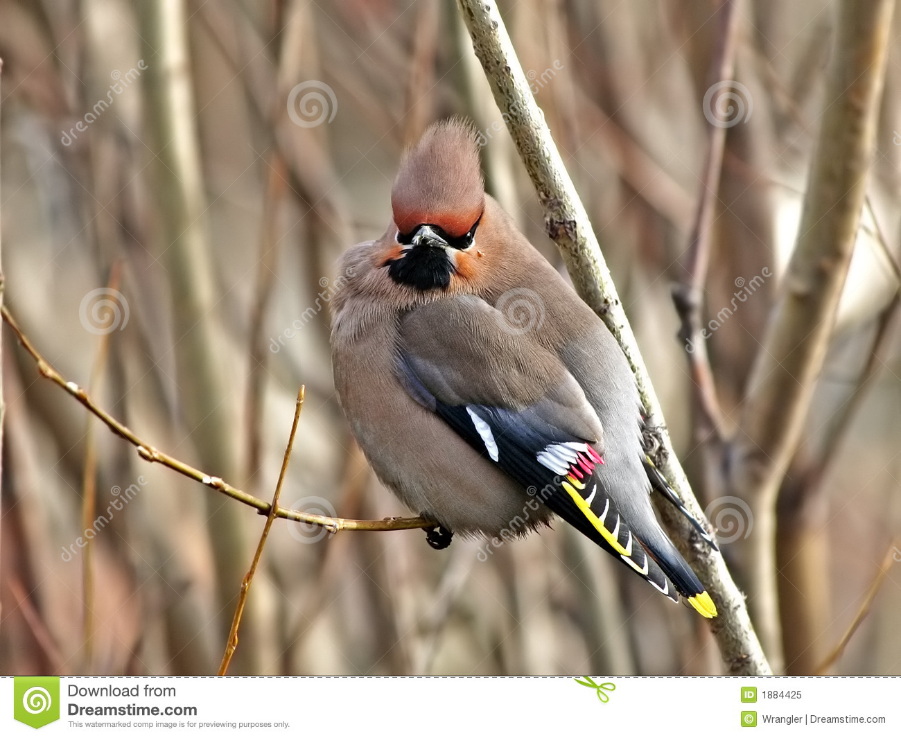 Guzzled thick waxwing.