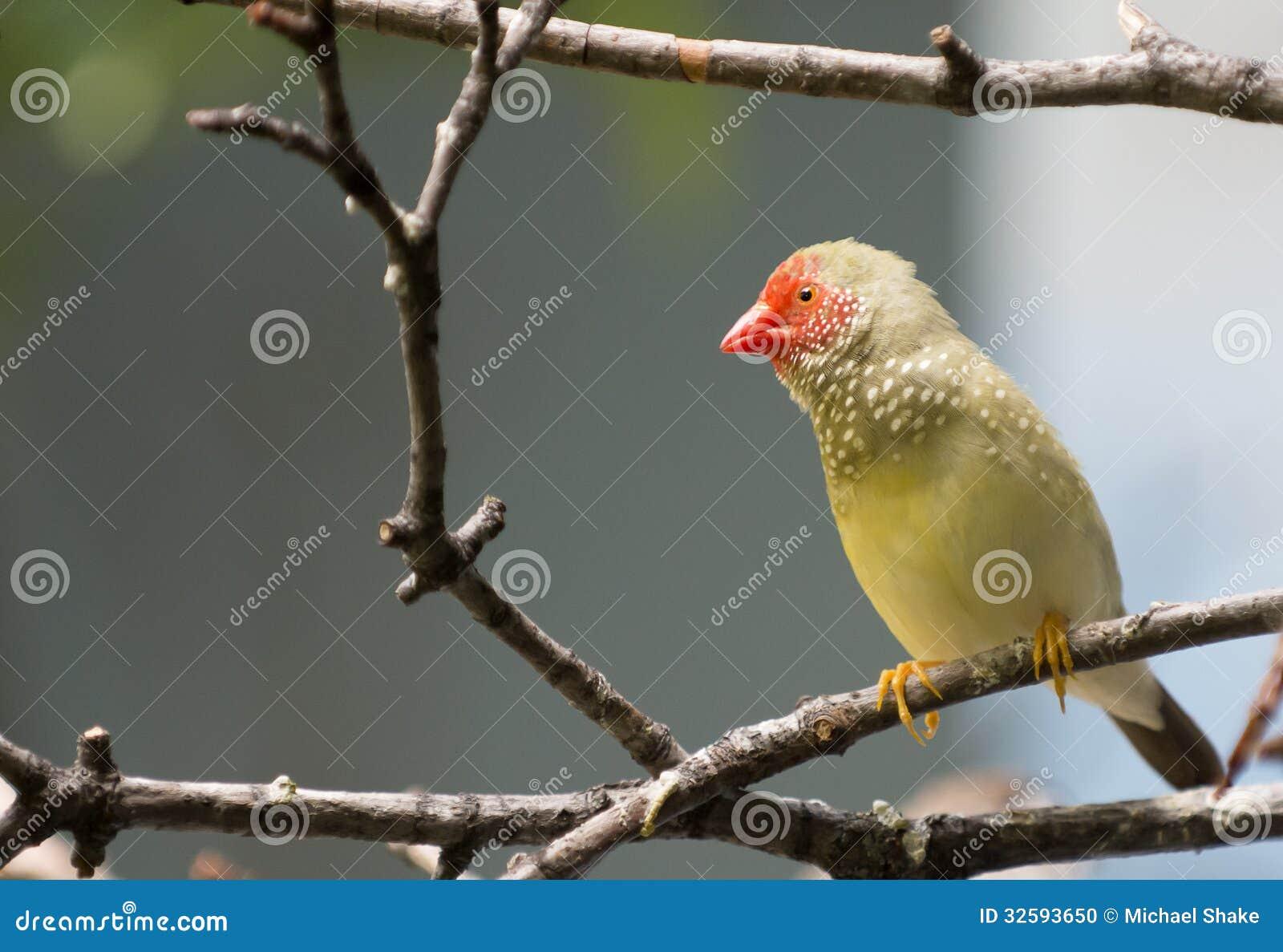 Gwiazdowy Finch