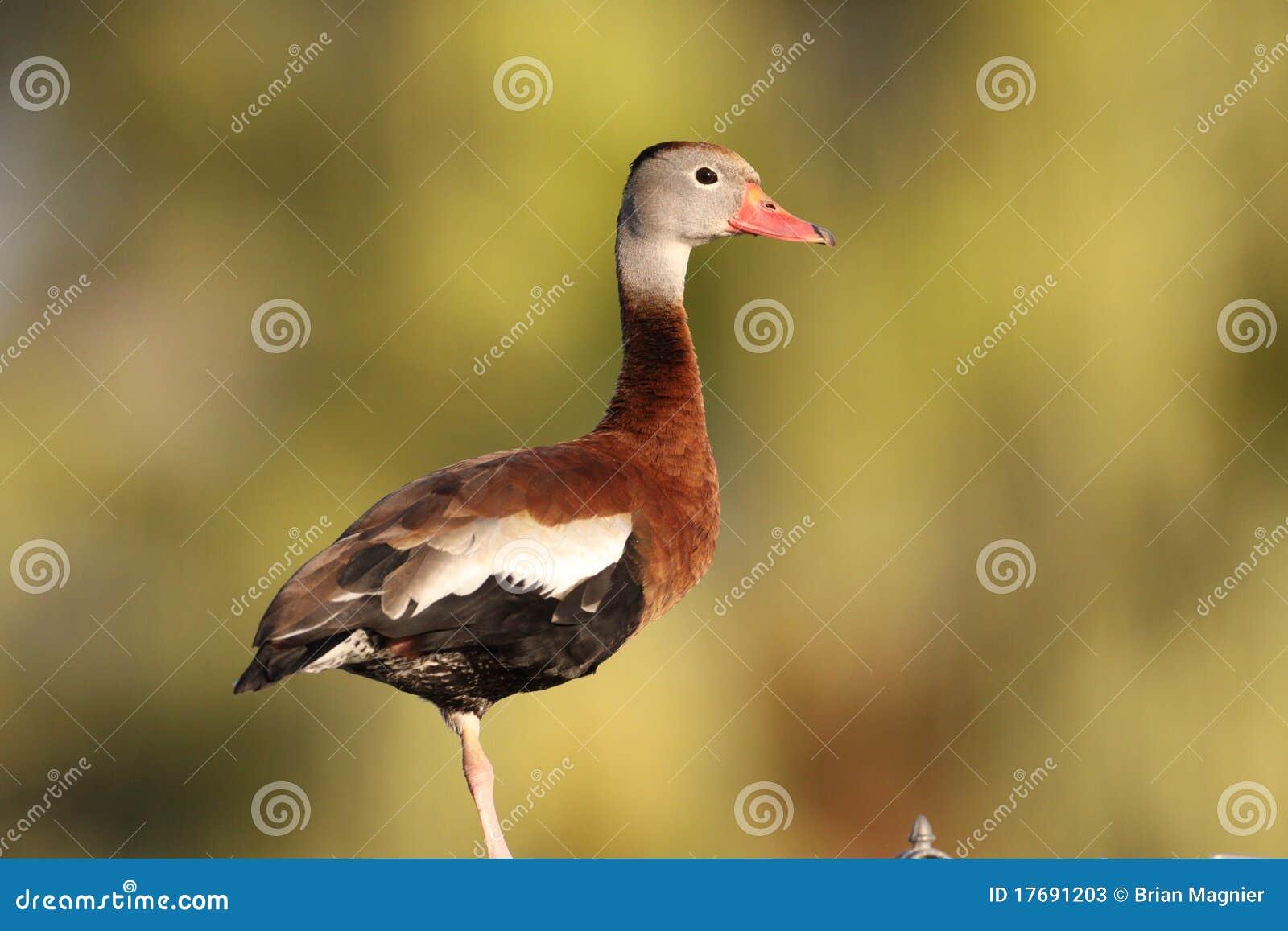 Gwizdanie czarny kaczki gwizdanie
