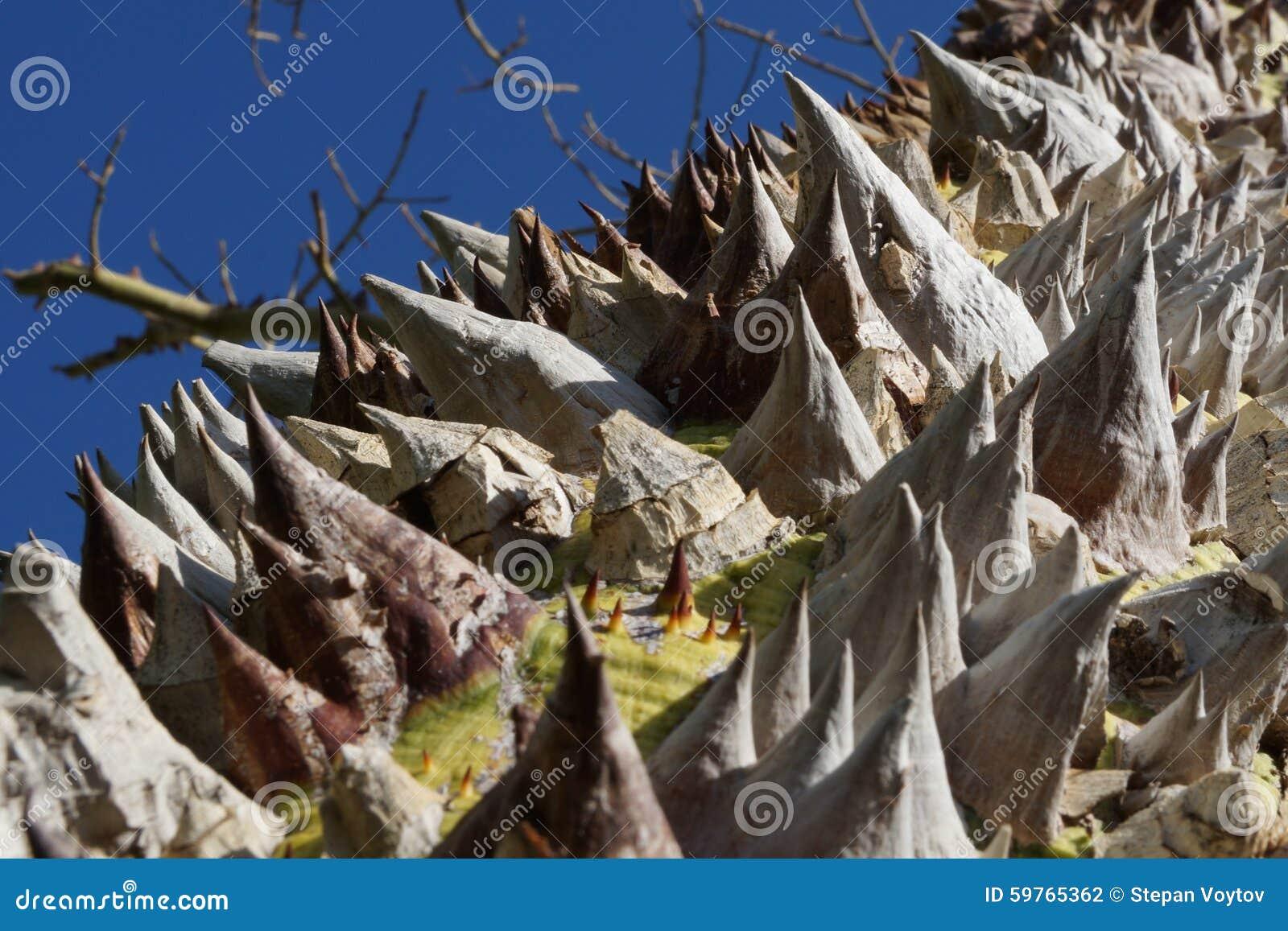 Gwożdżący drzewo w Egipt