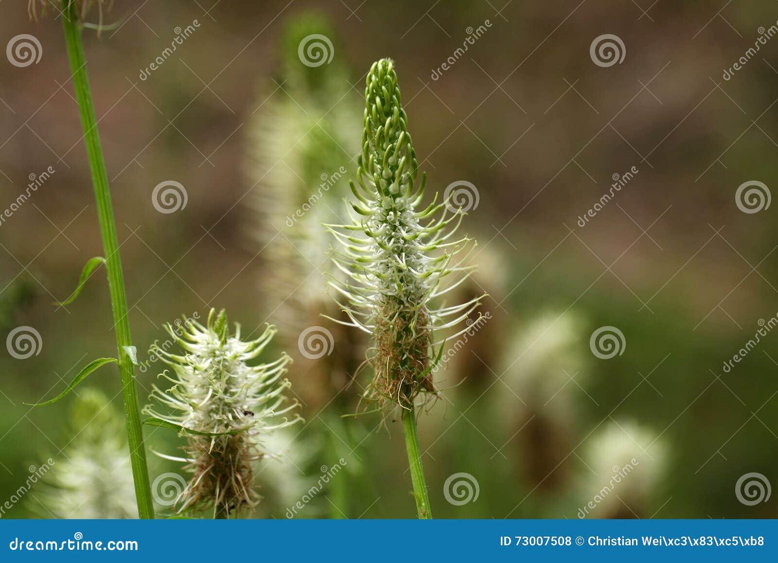 Gwożdżący rampion (Phyteuma spicatum)