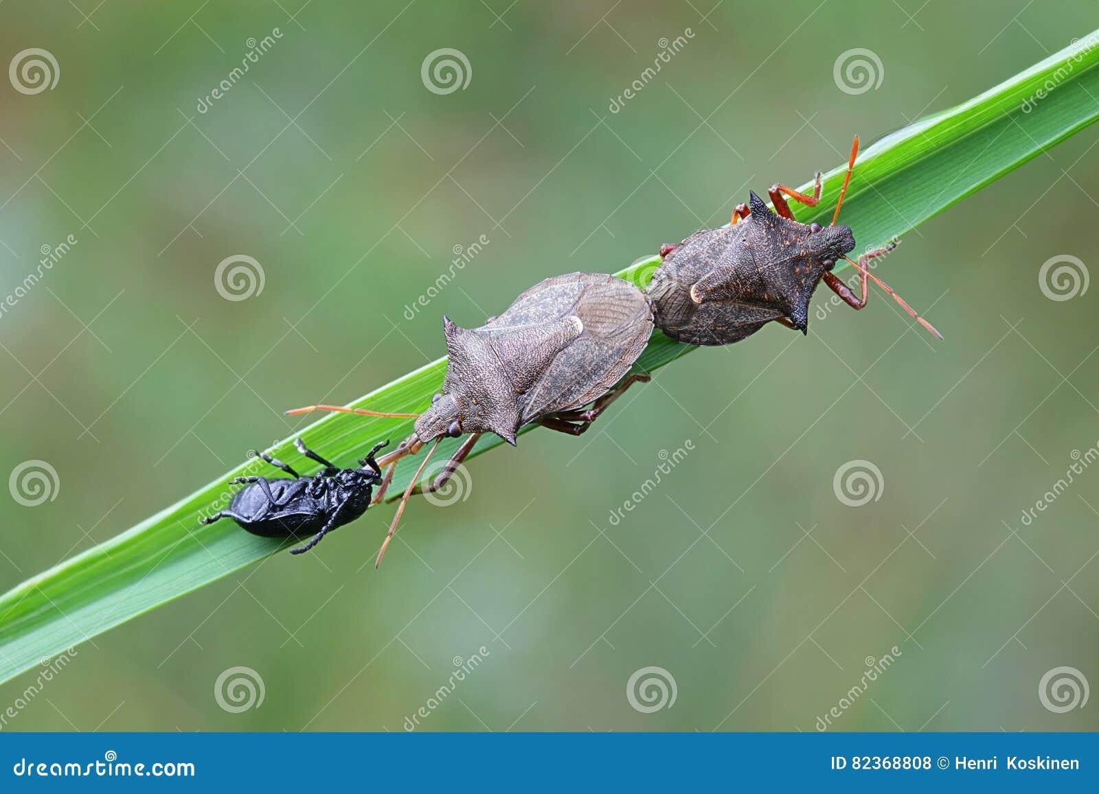 Gwożdżący shieldbug, Picromerus bidens