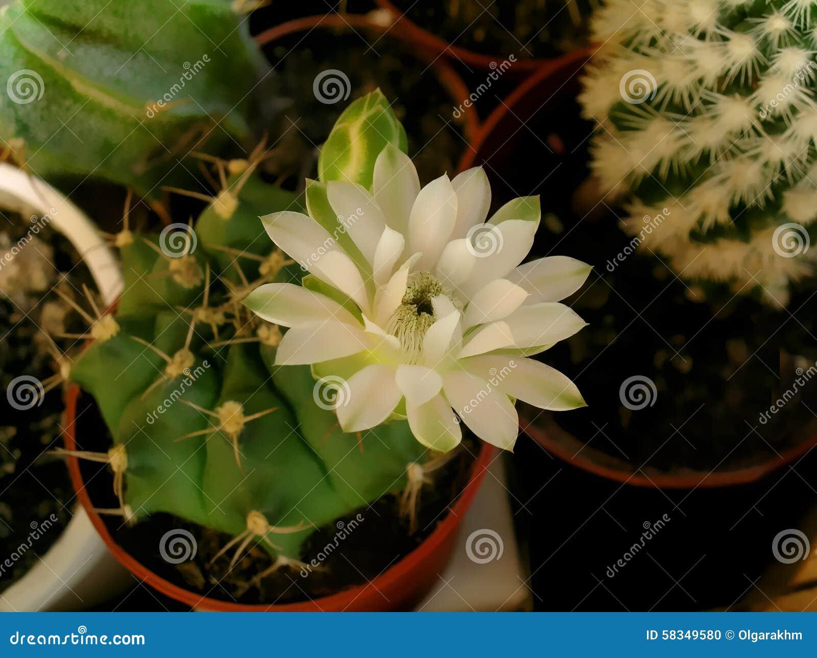 Gymnocalicium cactus flower stock photo image of floral brown gymnocalicium cactus flower mightylinksfo
