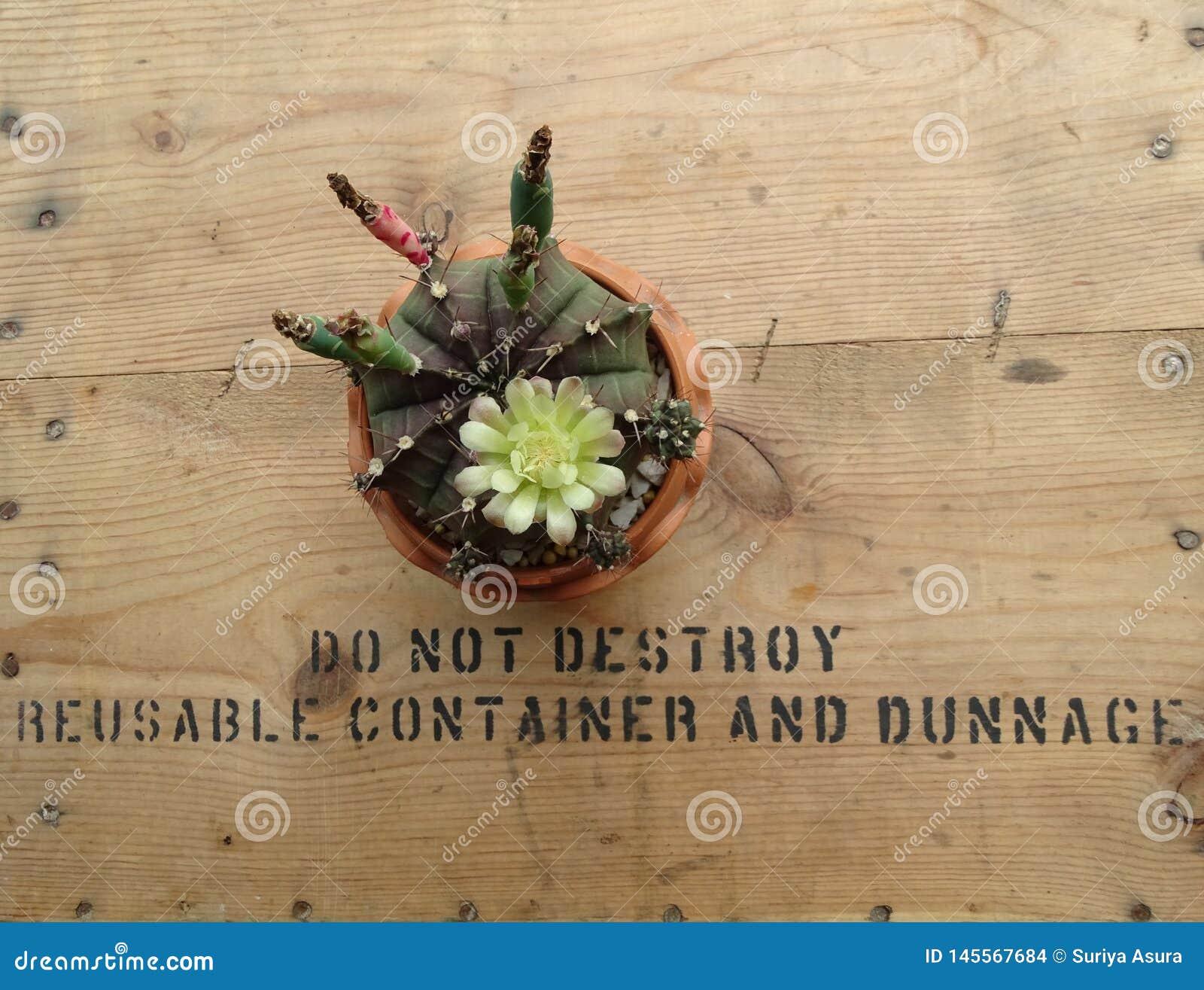 Gymnocalycium Mihanovichii kaktus zasadzający w małych garnkach z kwiatami