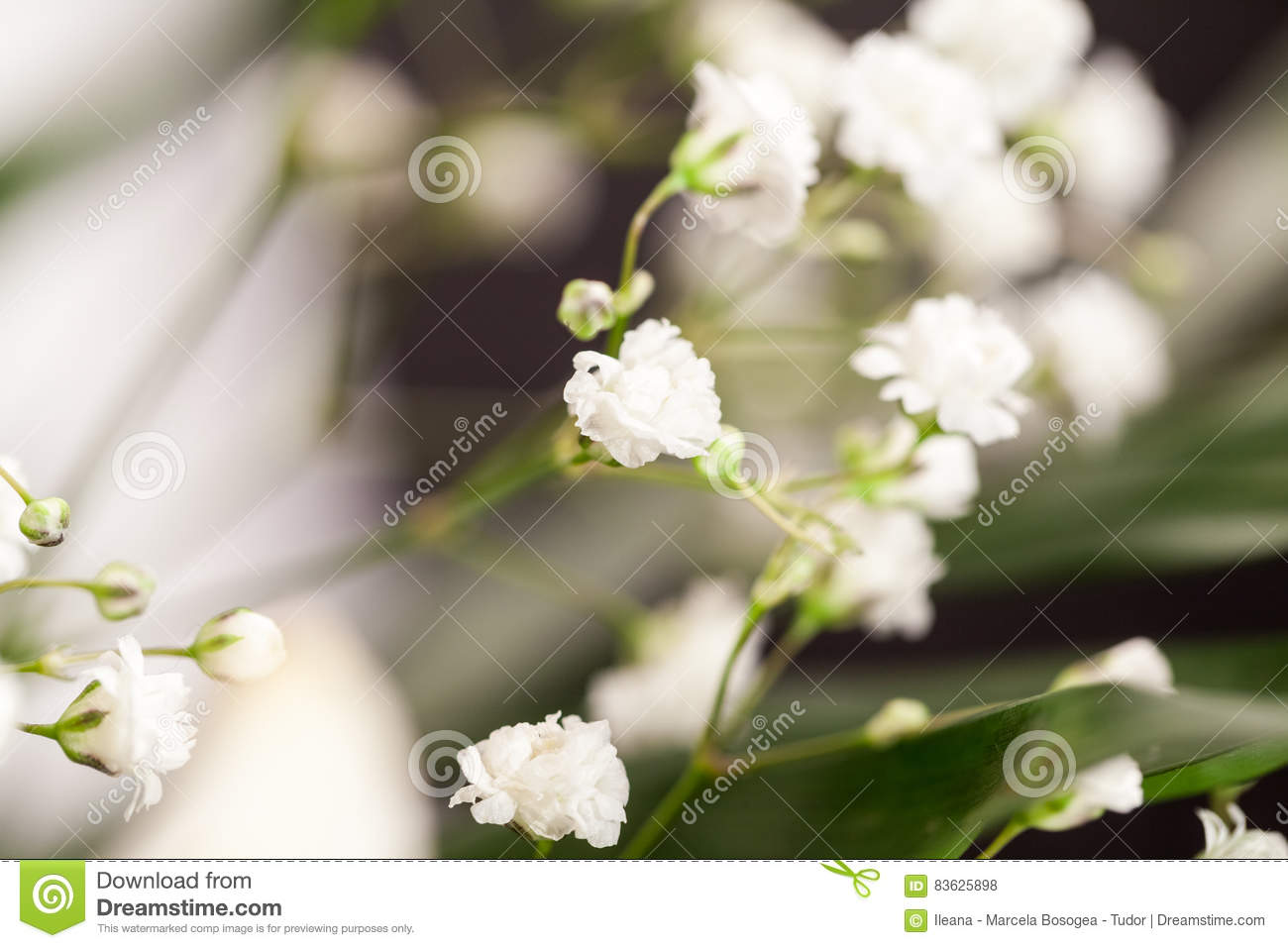 Gypsophila Plant With Small White Flowers Stock Photo Image Of