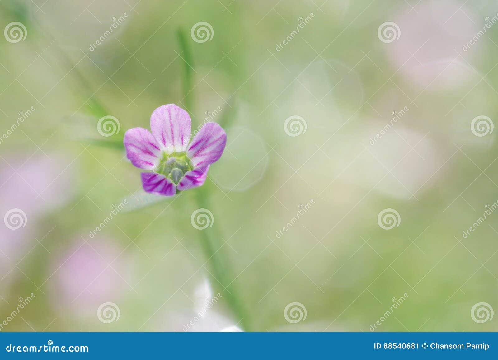 Gypsophila spring flower bloom, macro shot on sweet soft green-pink background with bokeh.