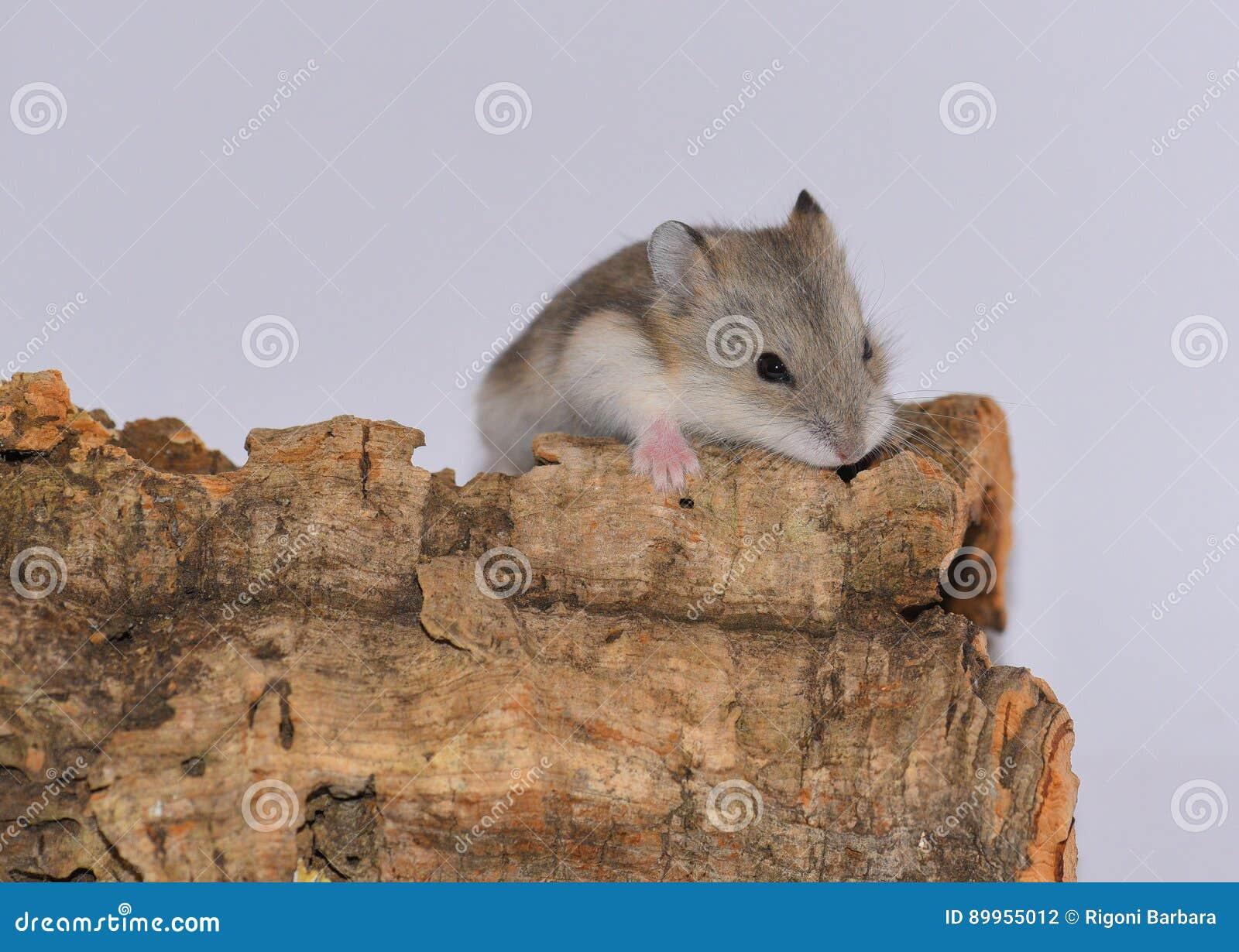 Hámster siberiano sobre el tronco