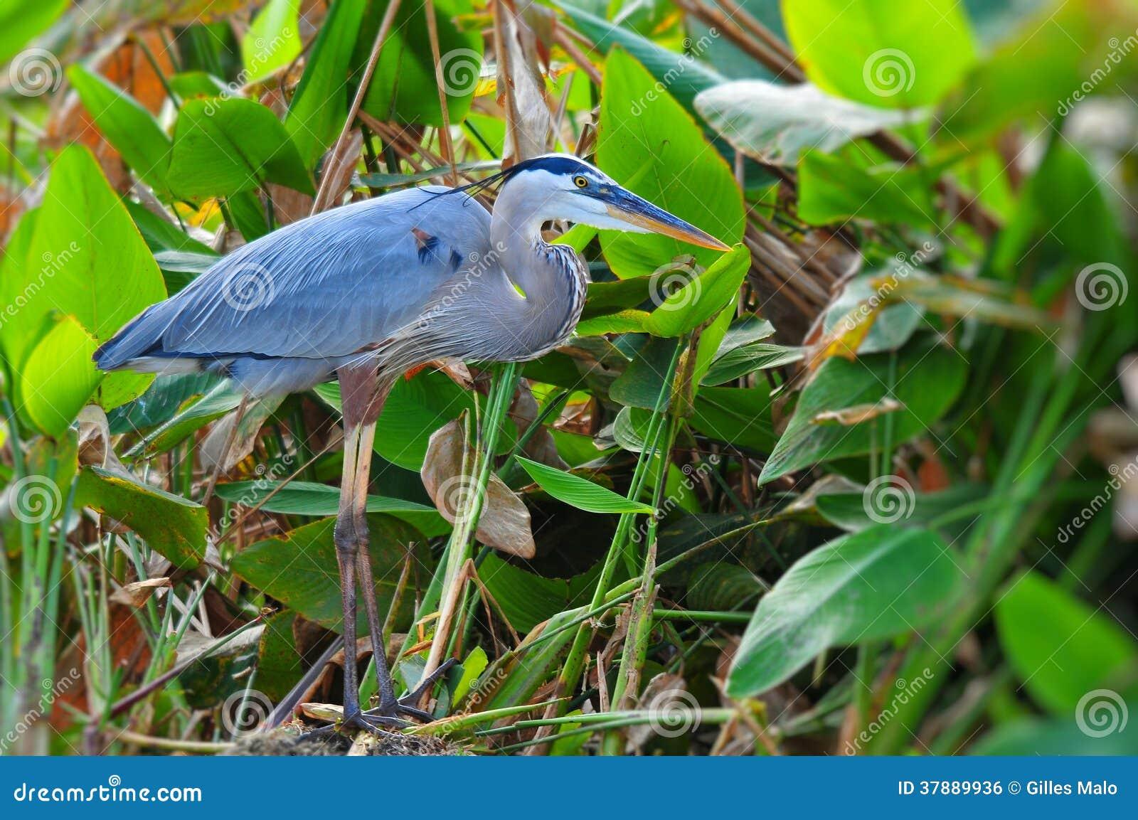 Häger för stora blått som poserar i våtmark