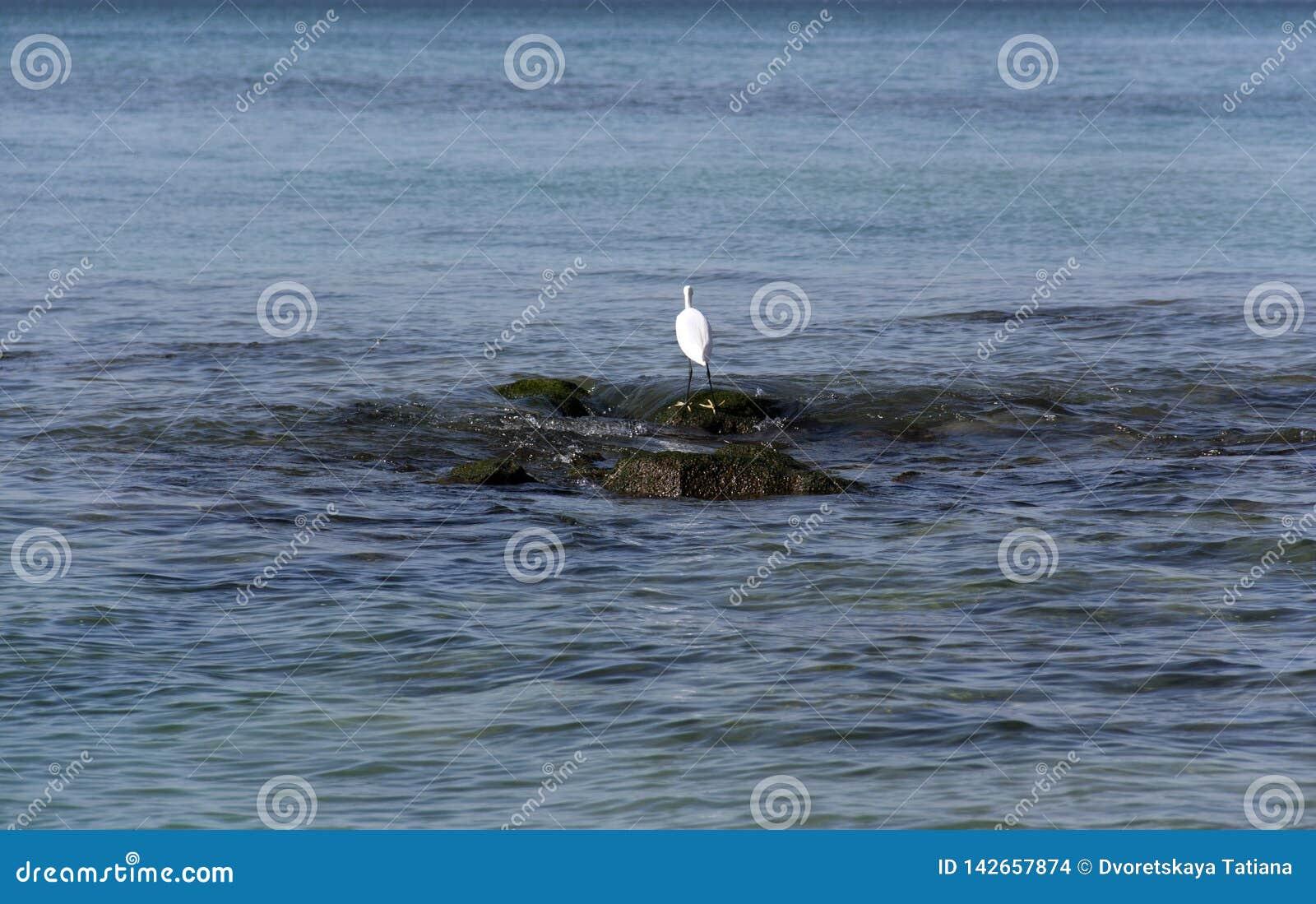 Hägerjakter på stenar i havet