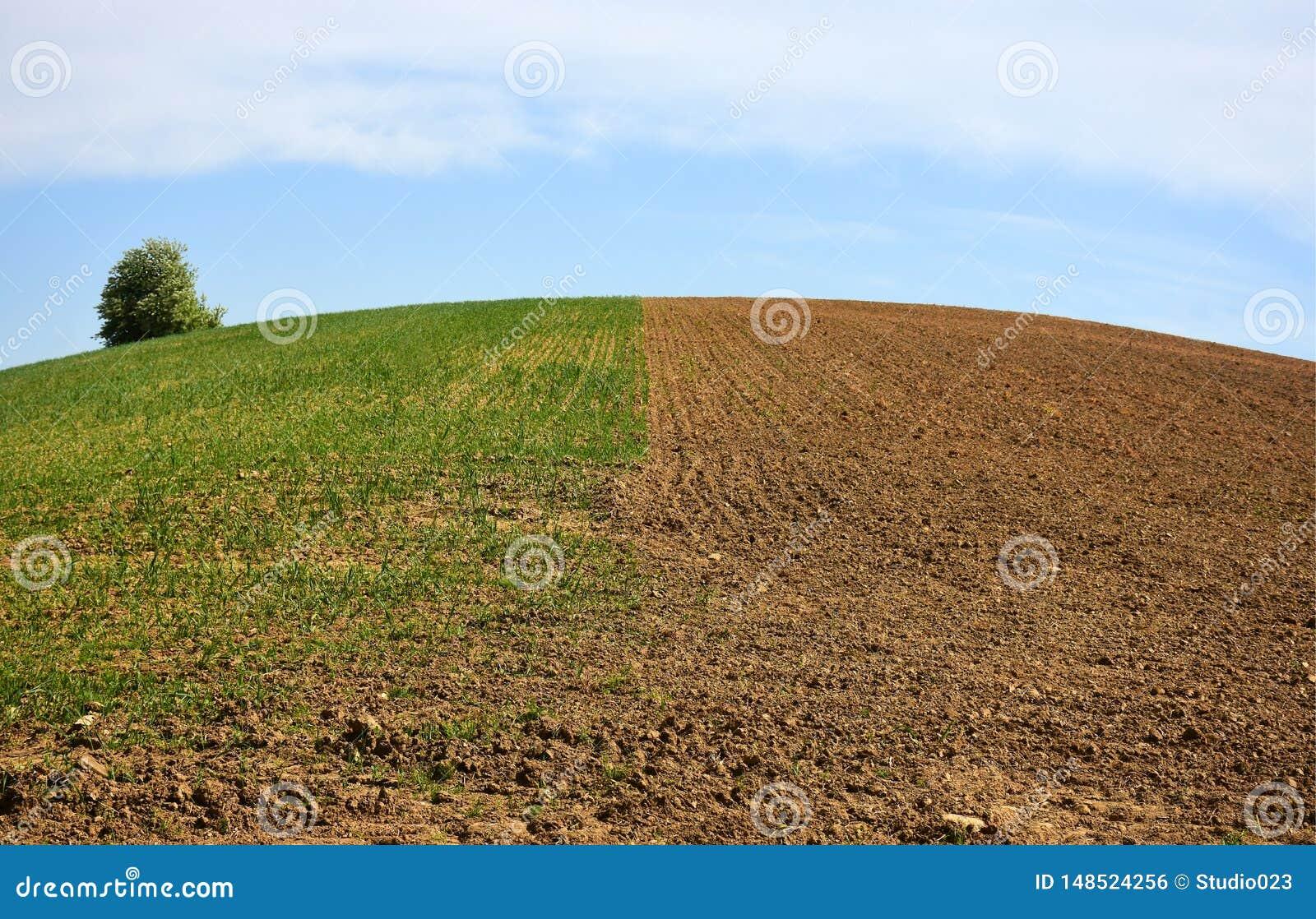 Hälfte das Feld gesät mit Korn und Hälfte bereit zum Korn