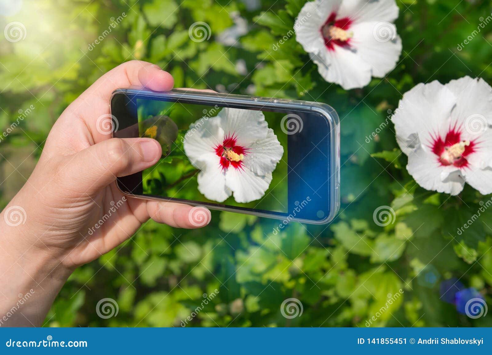 Hände der Frau Fotos von Blumen mit Handy machend Fotografie für instagram