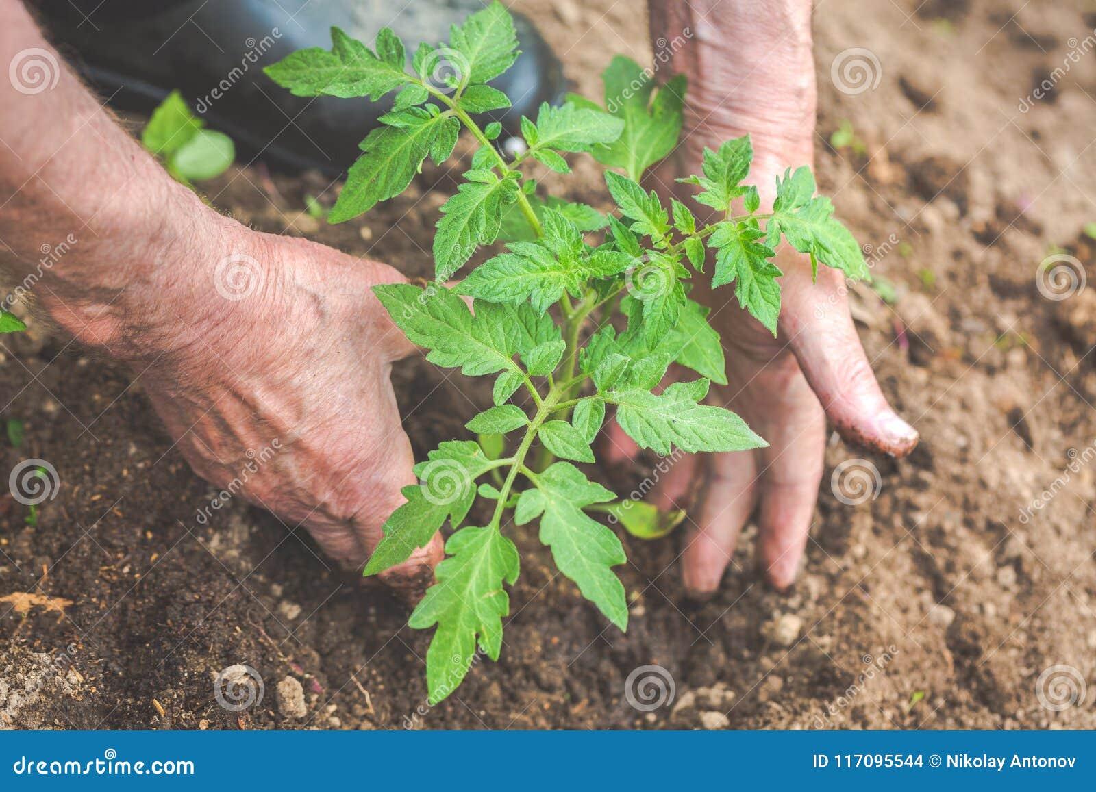 Hande Des Alten Mannes Pflanzen Den Tomatensamling In Den Boden
