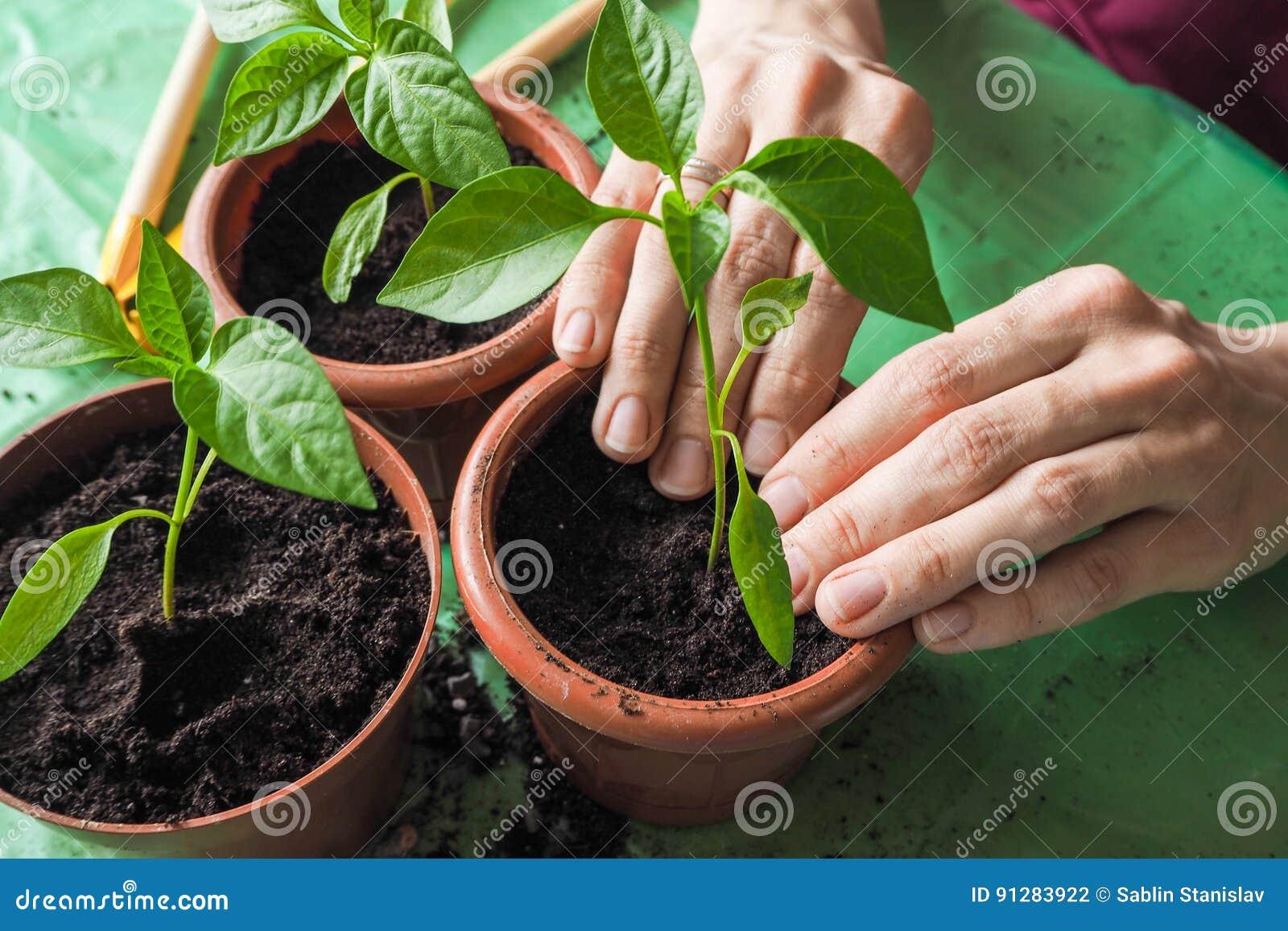 Händer för kvinna` s transplanteras de unga växterna på våren
