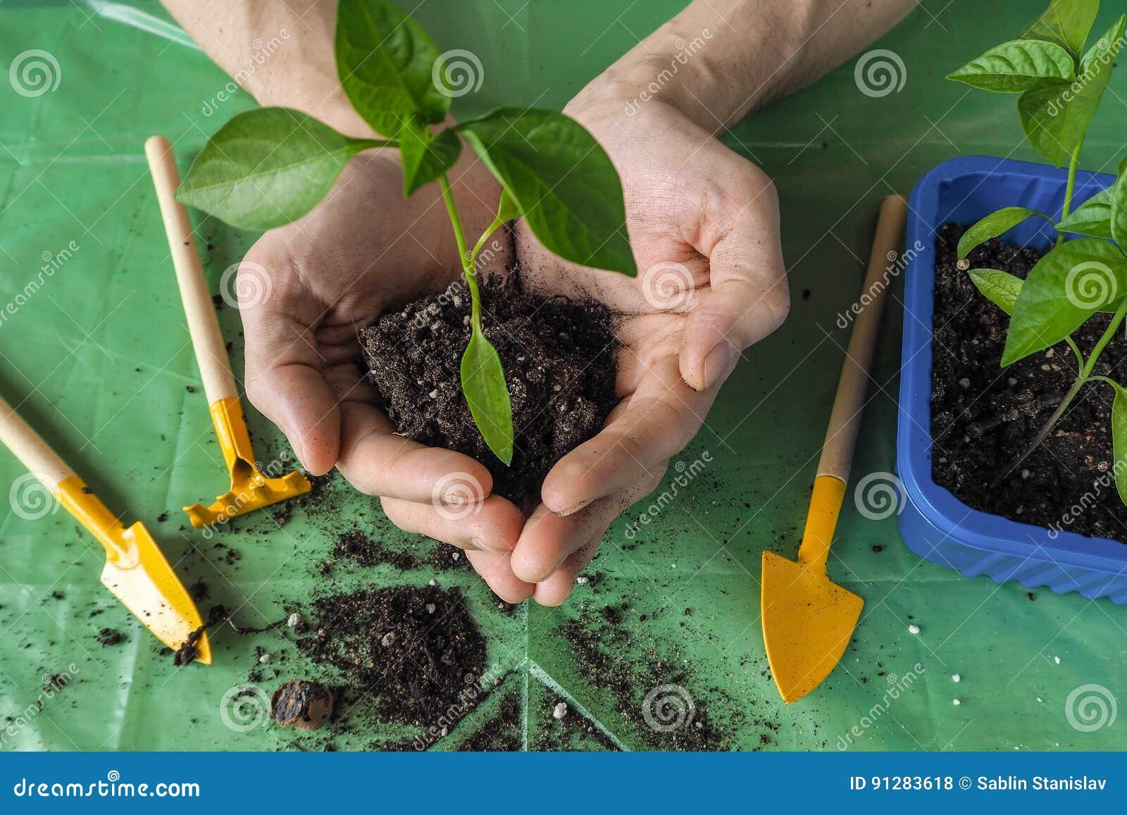 Händer för man` s transplanteras de unga växterna på våren
