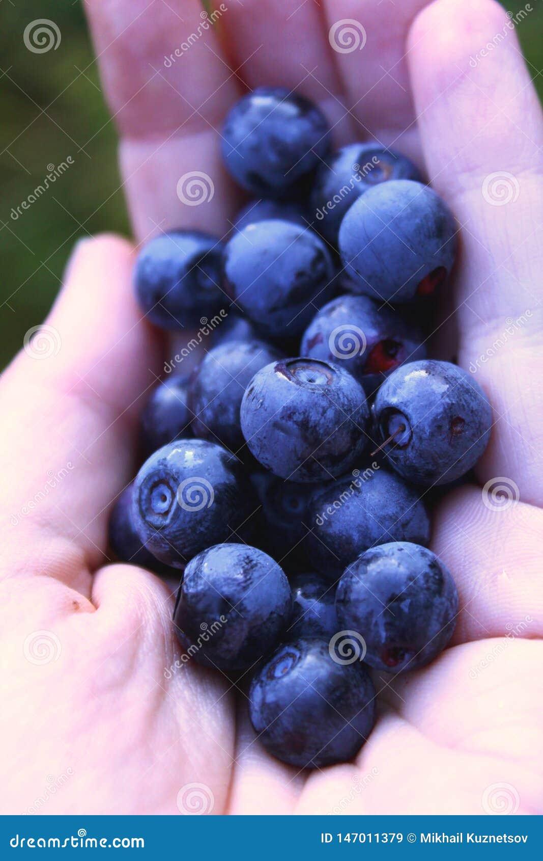 Händer som rymmer nya blåbär - naturliga bär i skog