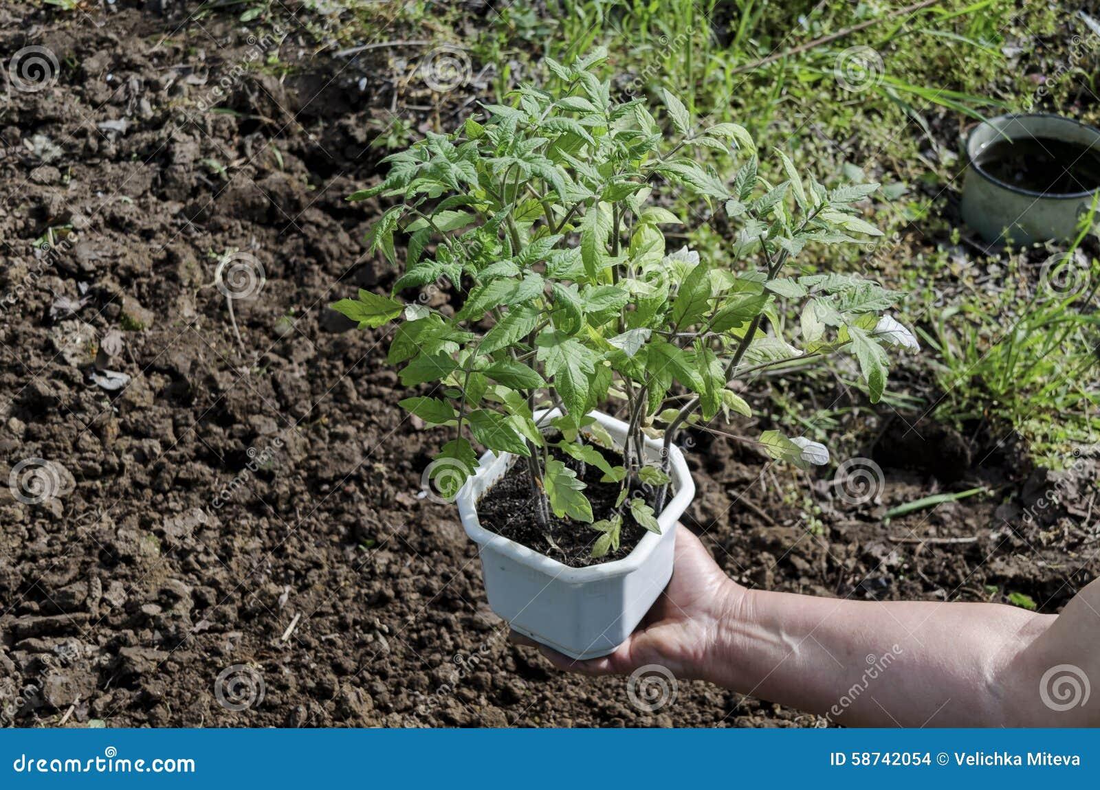 Händer som rymmer plantor i krukan