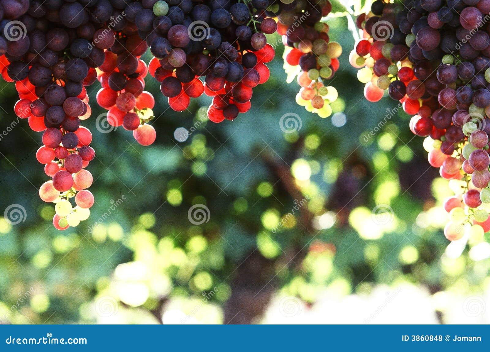 Hänga för druvor