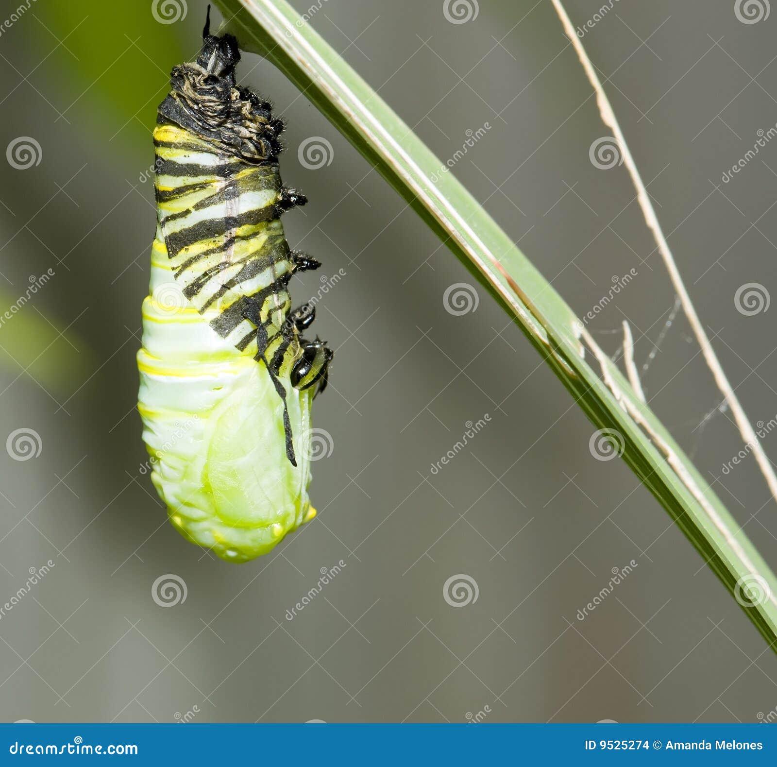 Hängendes Monarchgleiskettenfahrzeug
