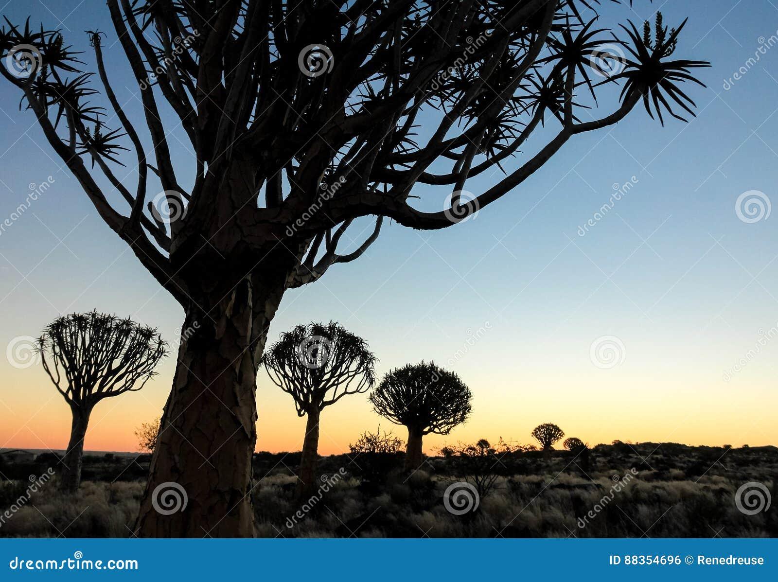 Härlig afrikansk solnedgång med silhouetted darrningträd