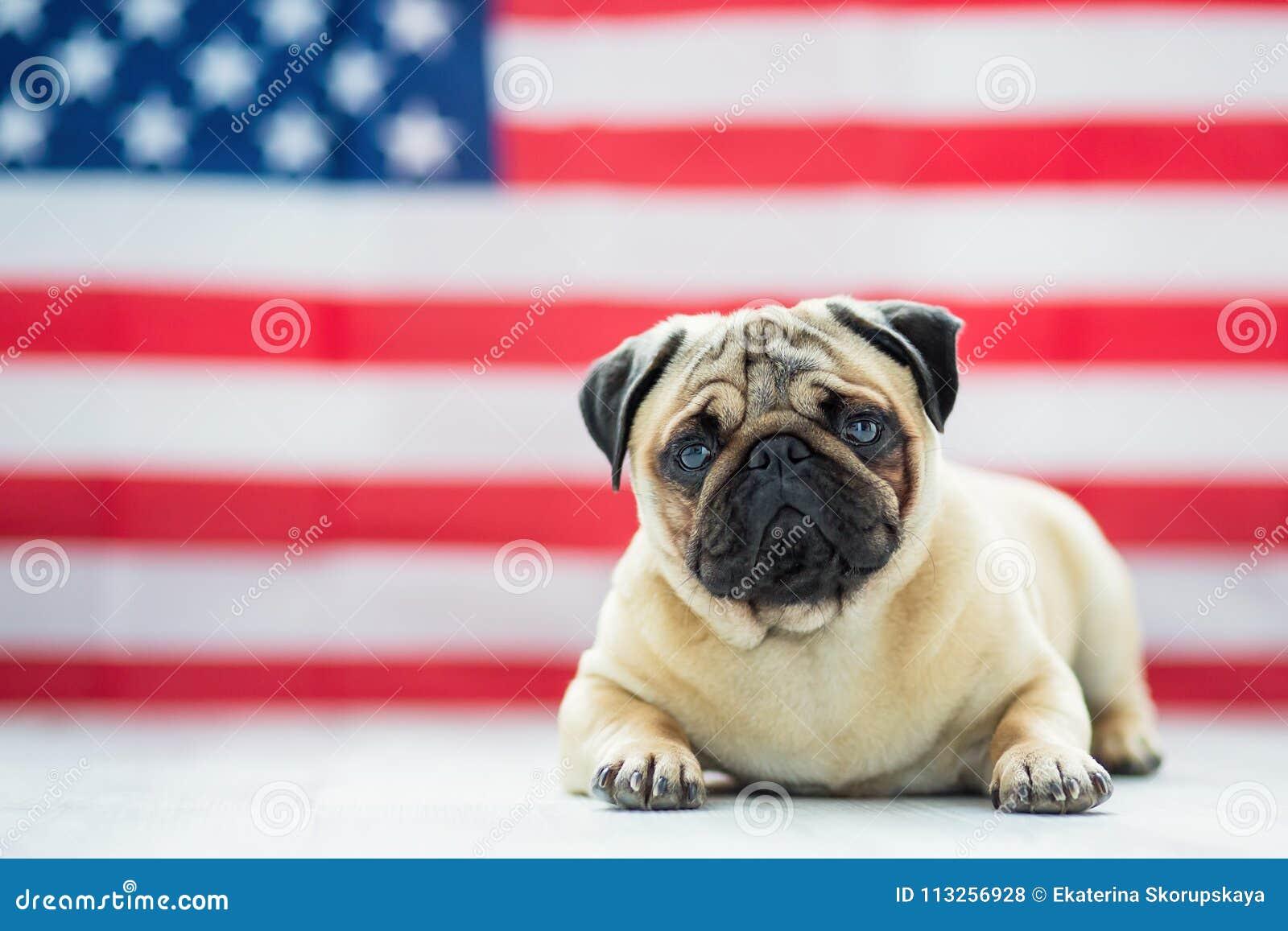 Härlig beige valpmops på bakgrunden av amerikanska flaggan på självständighetsdagen