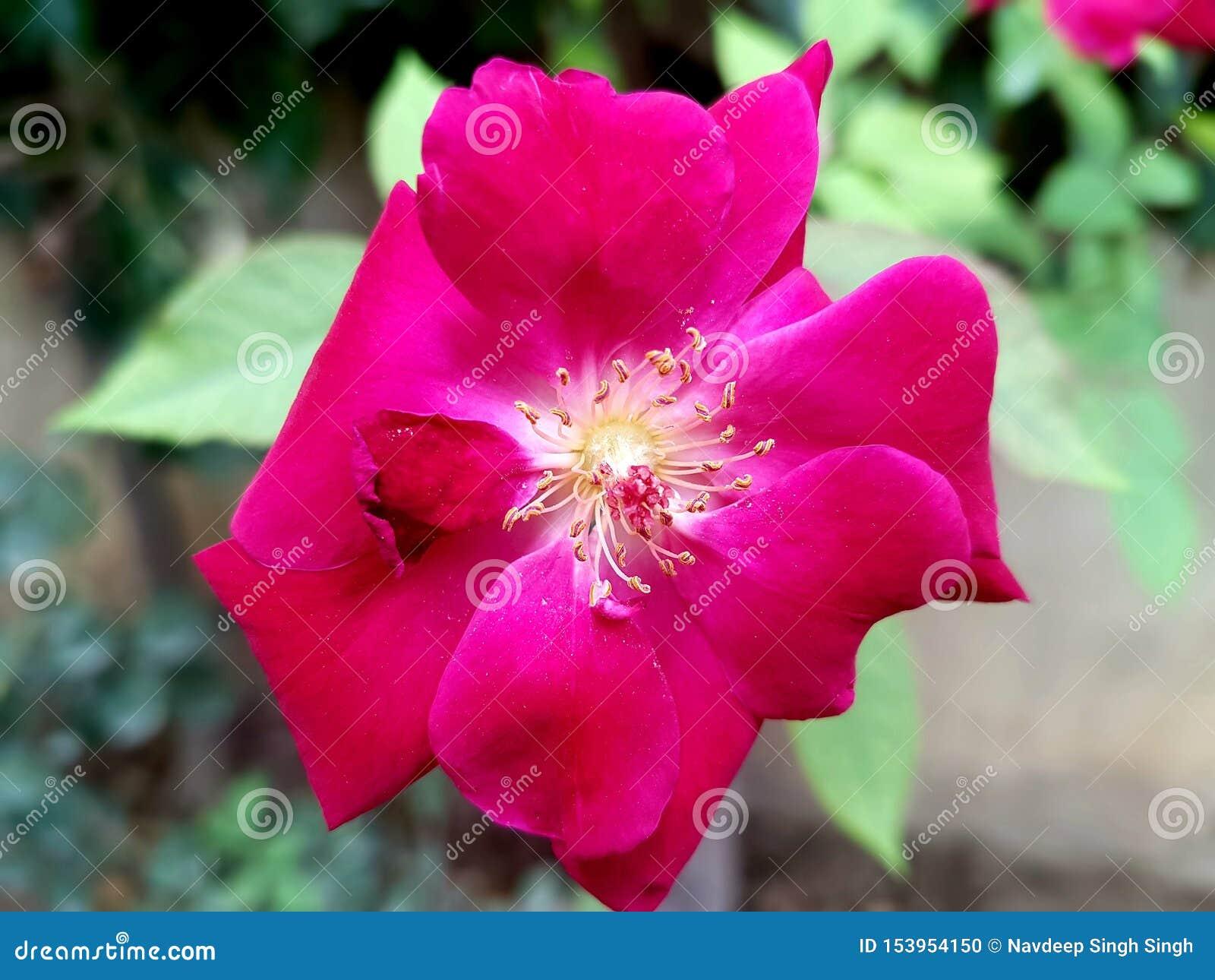 Härlig bild av den rosa blomman