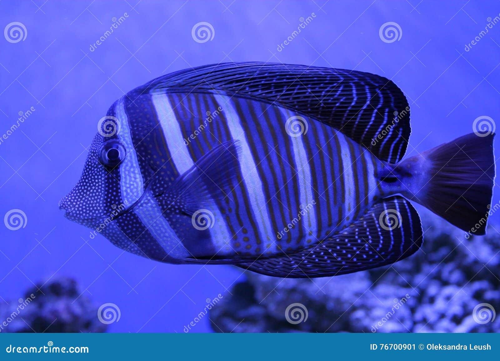 Härlig blåttfisk i det blåa ljuset