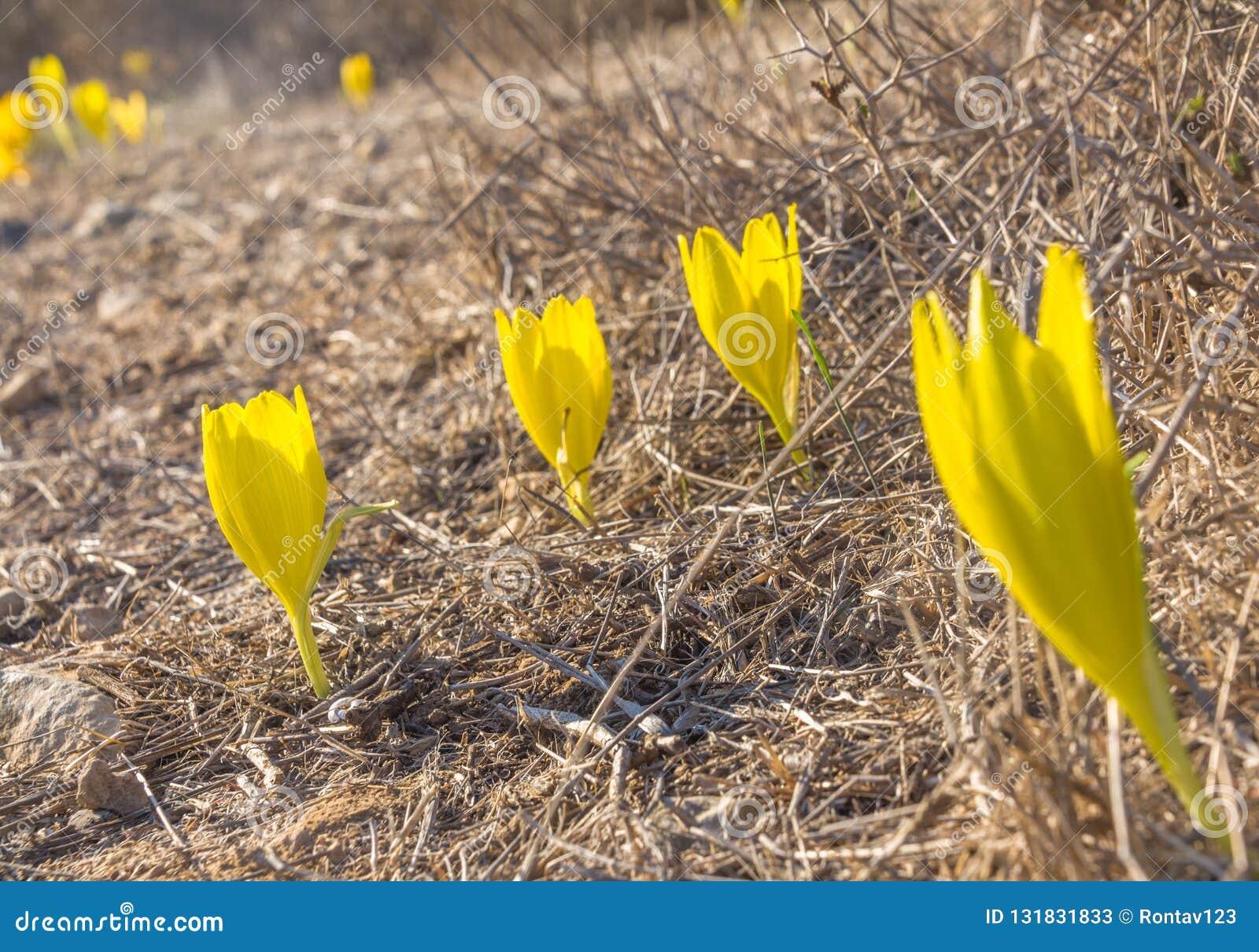 Härlig blom för lös blomma för Sternbergia clusiana oavkortad