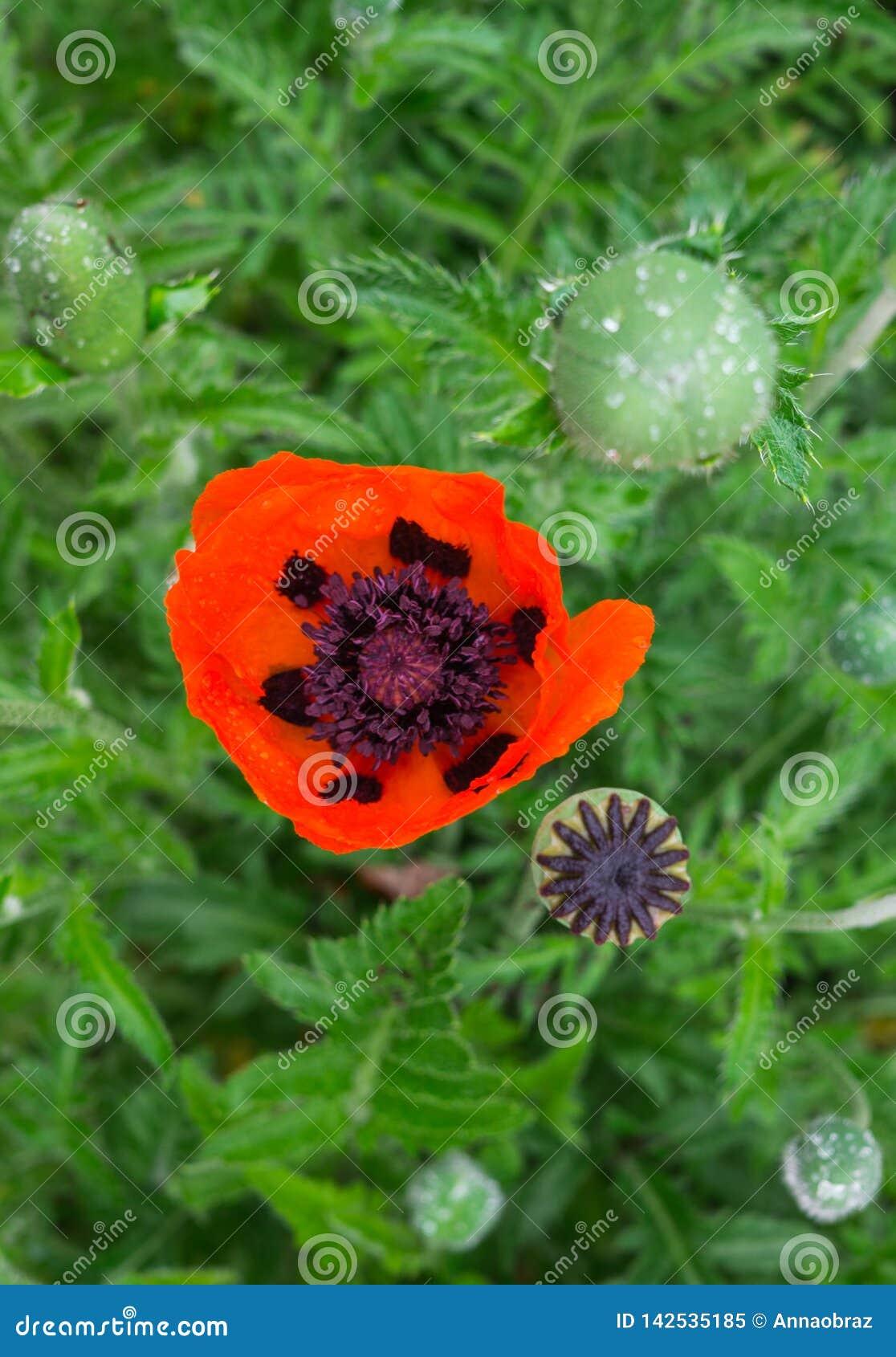 Härlig blomma av den blomstra röda vallmo i trädgården