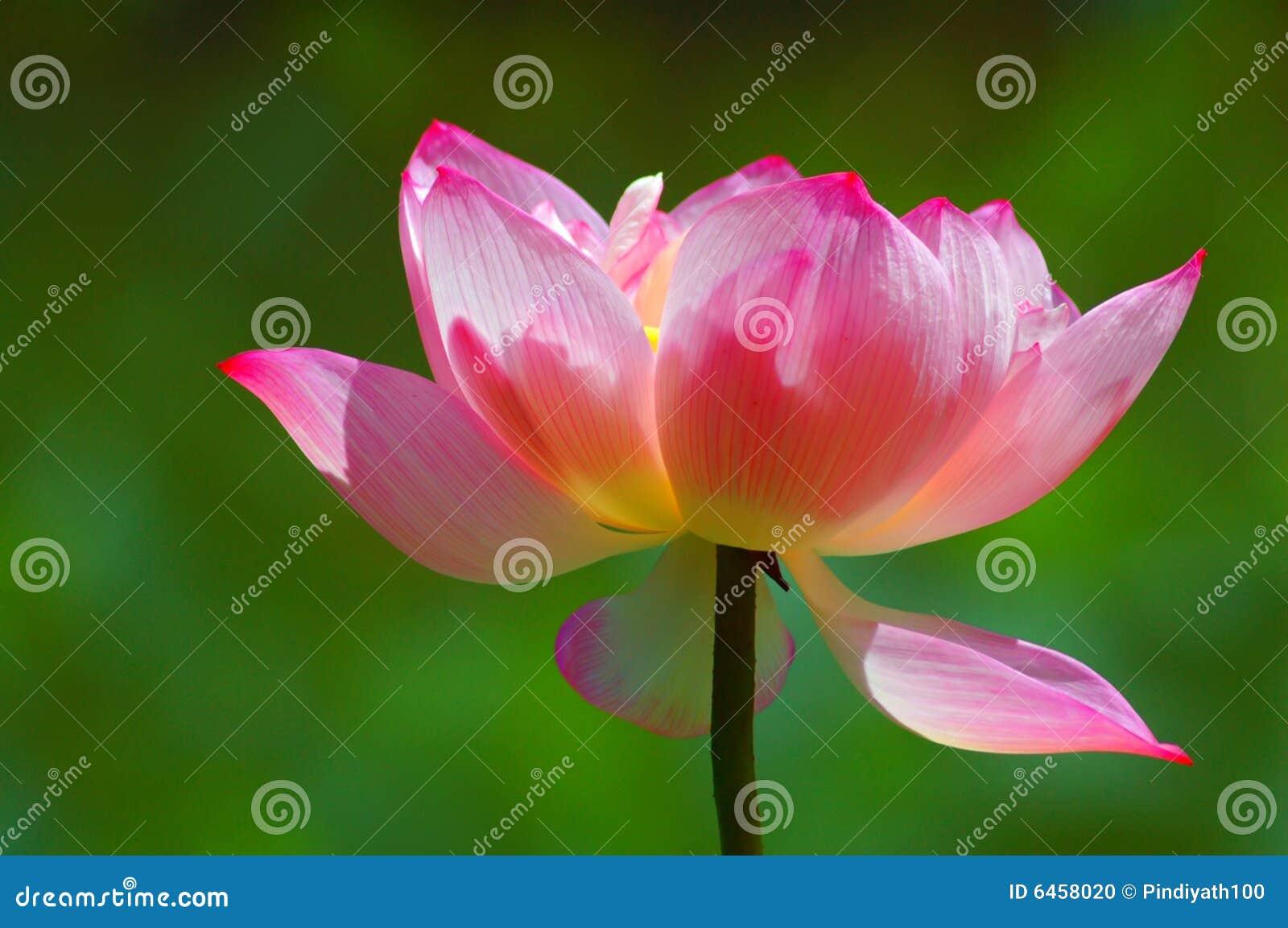 Härlig blommalotusblomma