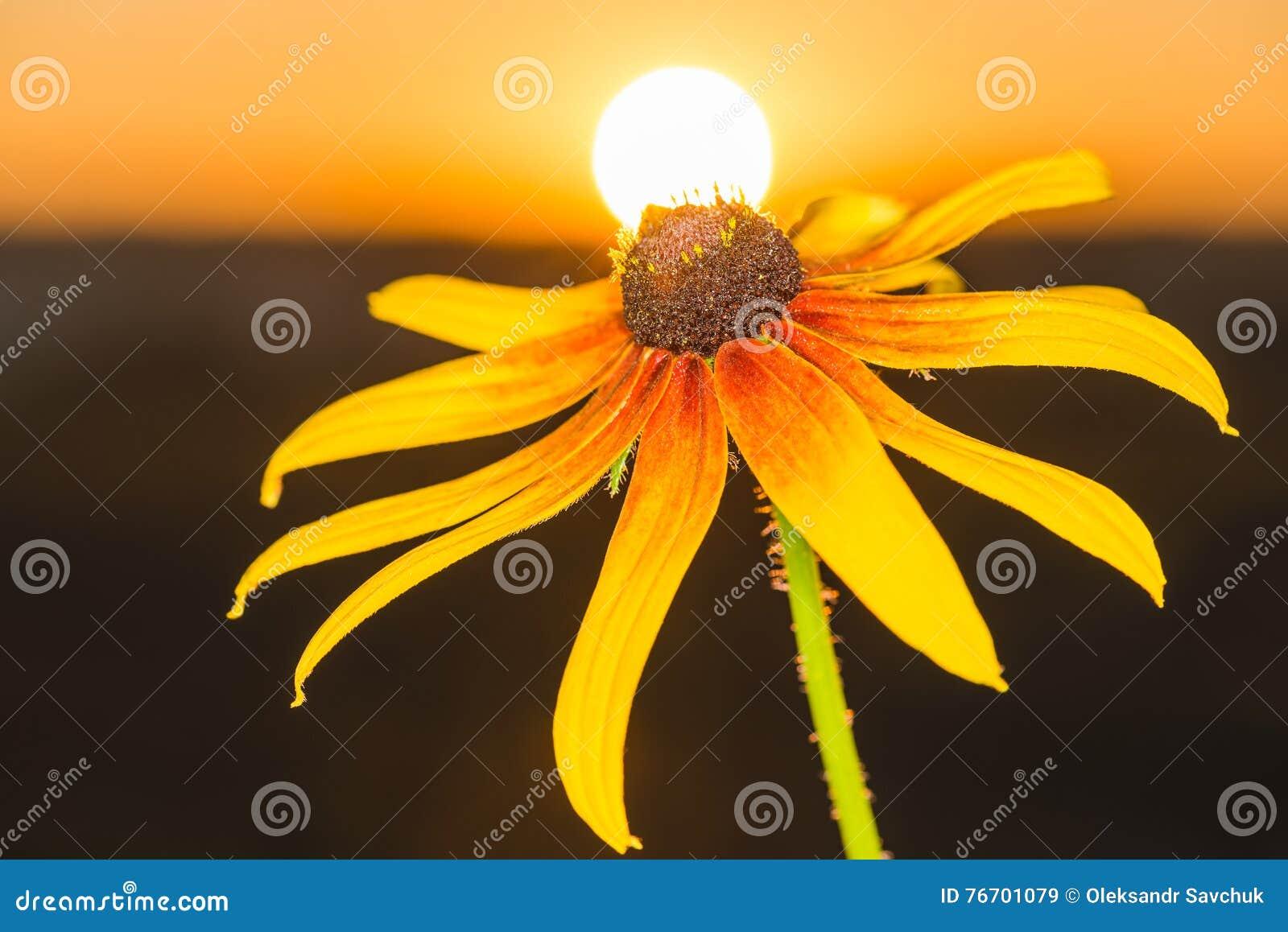 Härlig blommarudbeckia i strålarna av gryning