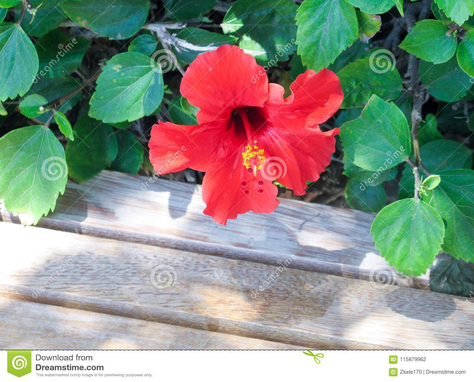 Härlig blomninghibiskus