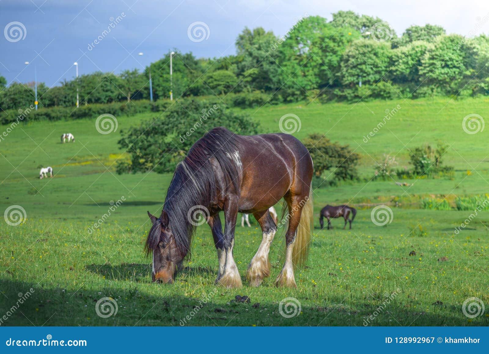 Härlig brun häst som betar i en äng och äter gräs i ett grönt fält
