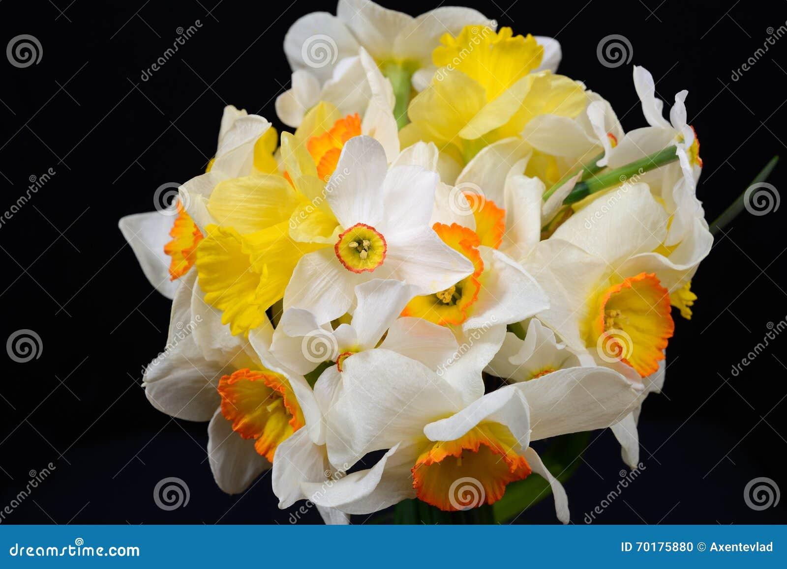 Härlig bukett av gula och vita påskliljor, stark kontrast