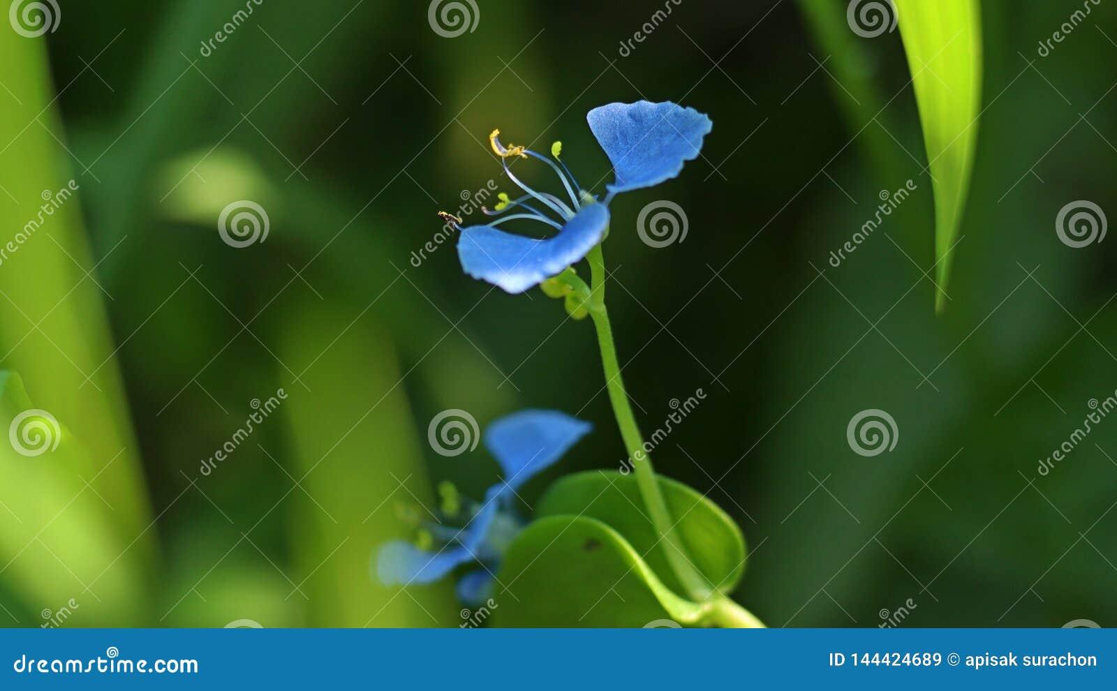 Härlig dayflower i trädgården