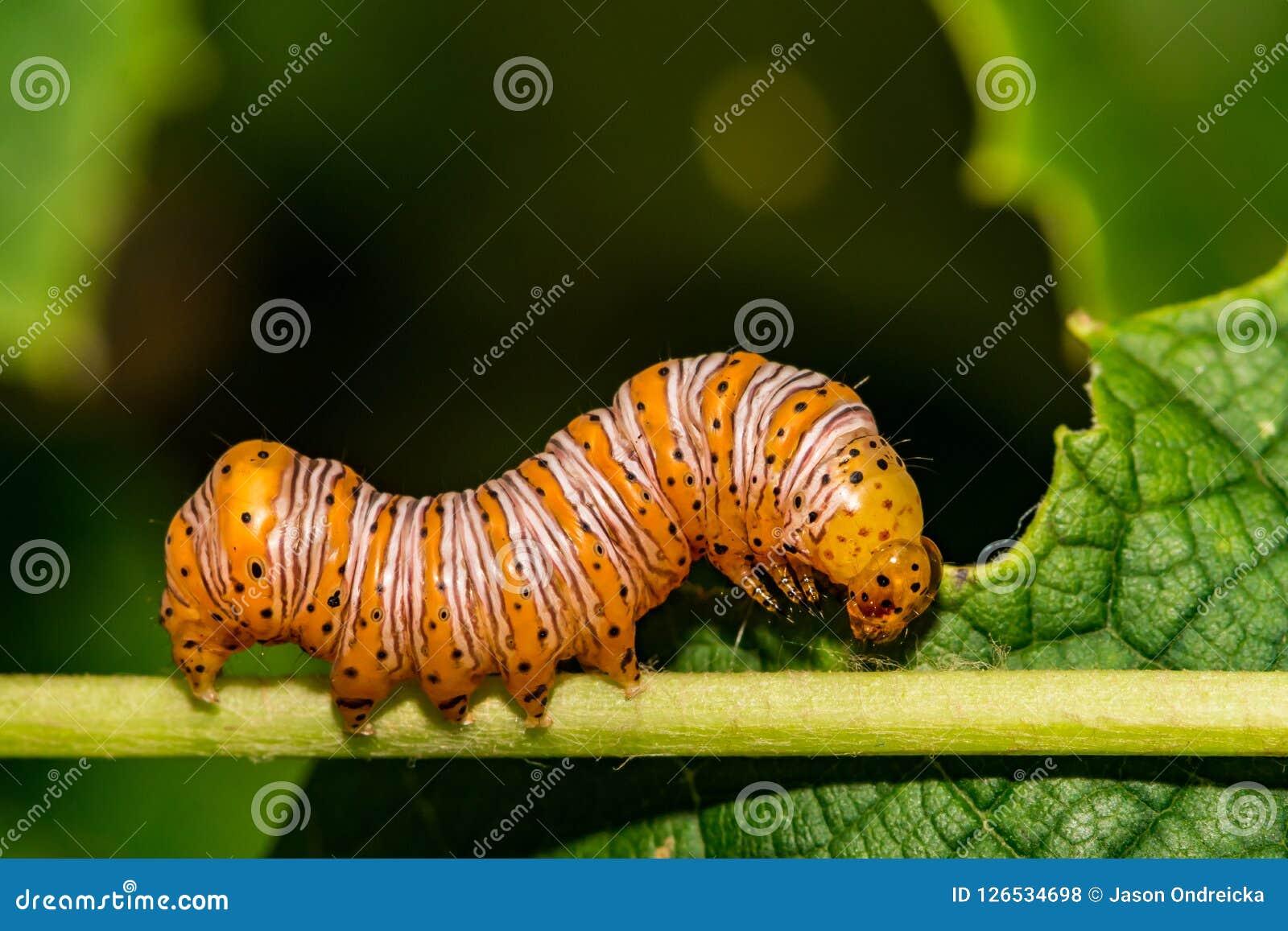 Härlig dryad Caterpillar