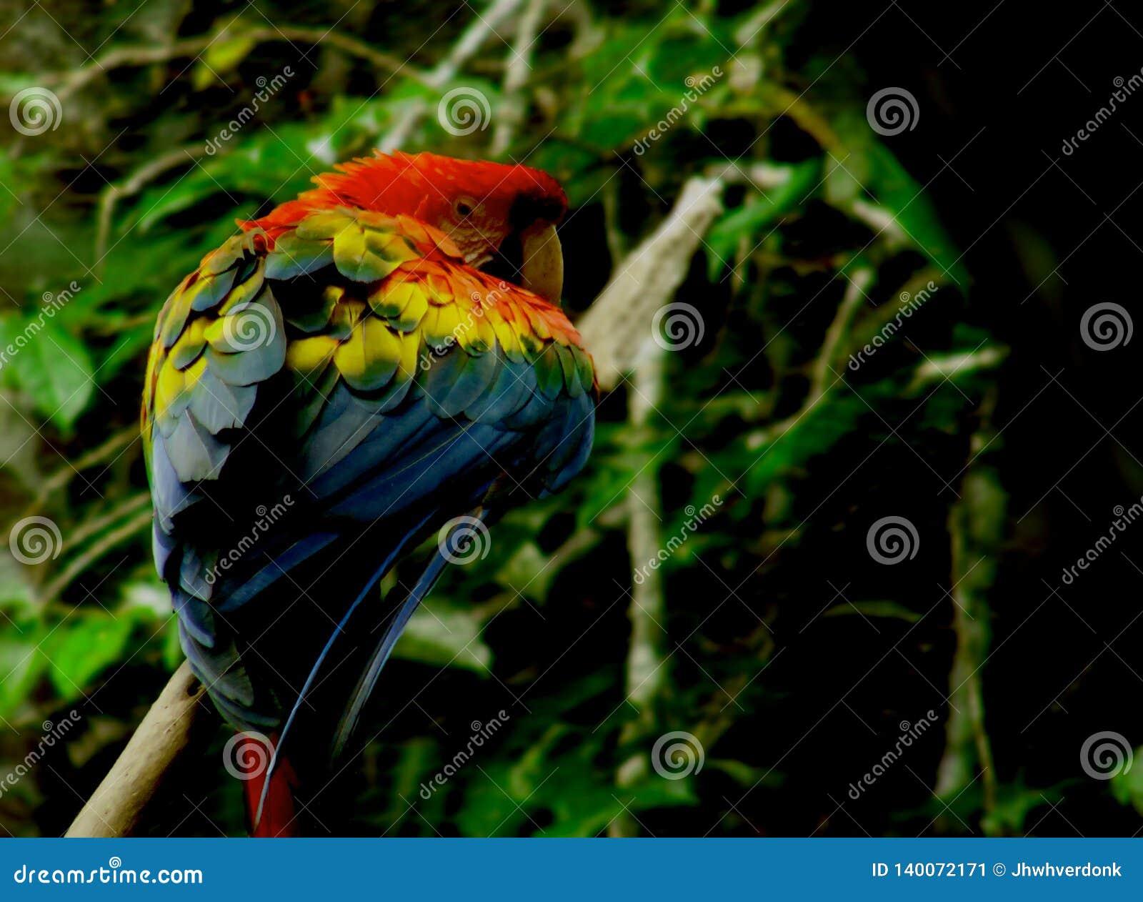 Härlig färgning av en scharlakansröd ara i bedöva poserar på en filial