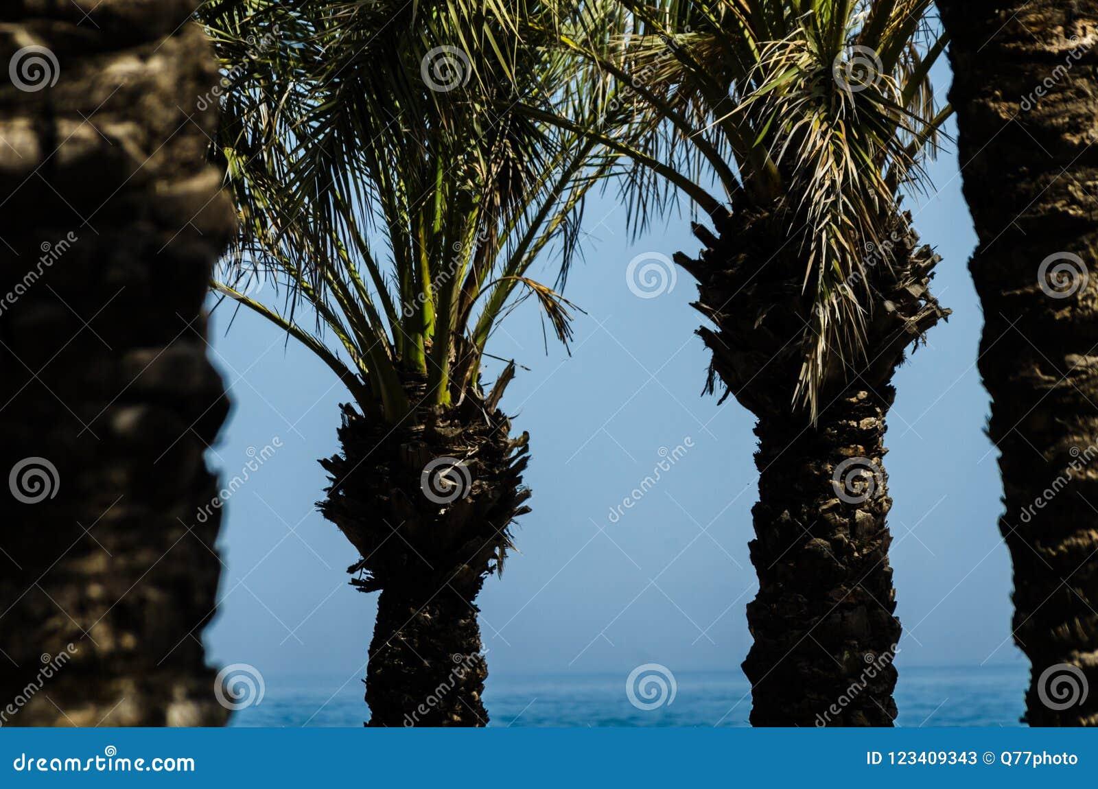 Härlig fördelande palmträd, exotiskt växtsymbol av ferier,