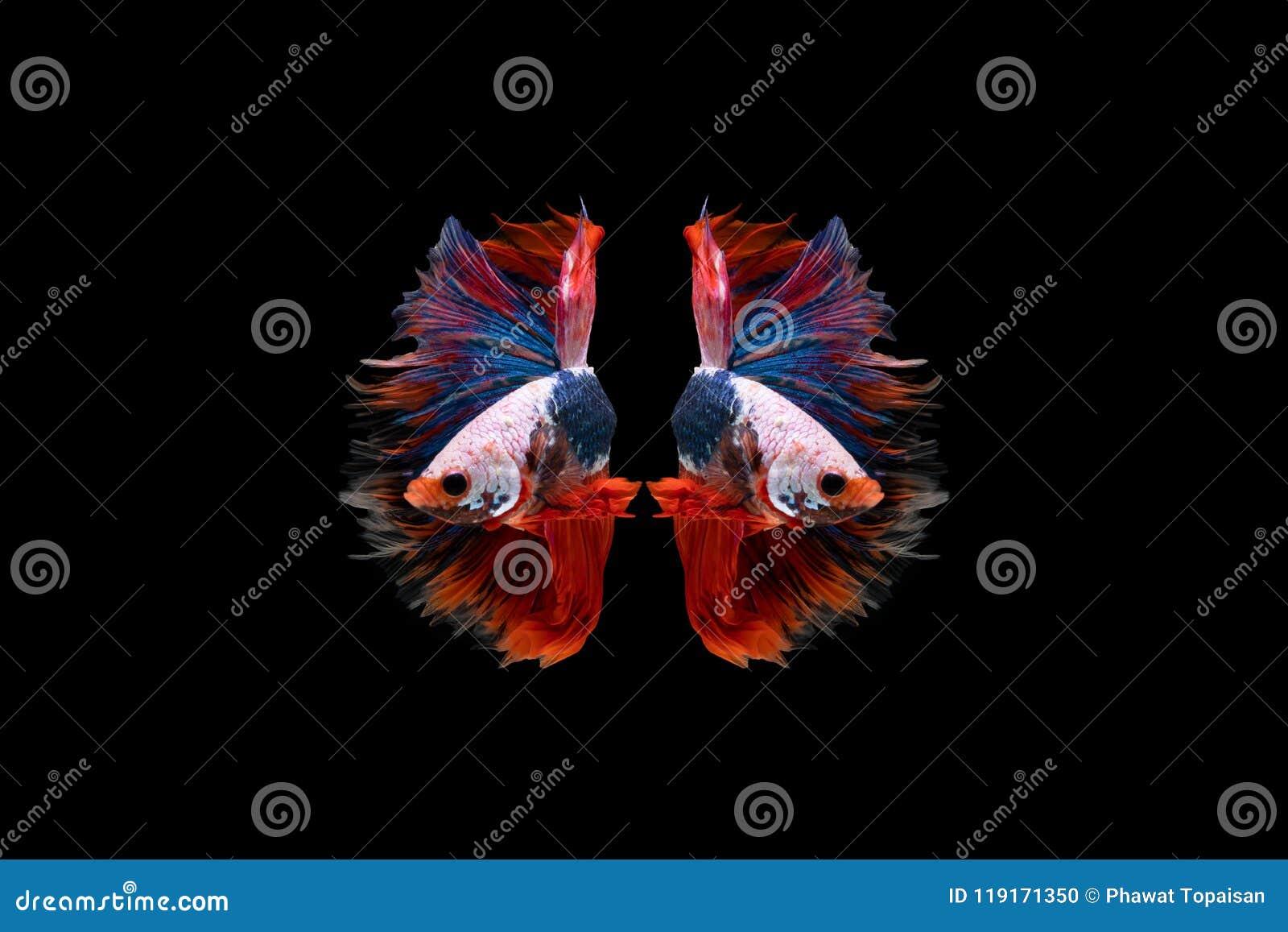 Härlig fisk för Halfmoonbetta Fånga det rörande ögonblicket som är härligt av siam bettafisk i Thailand på svart bakgrund