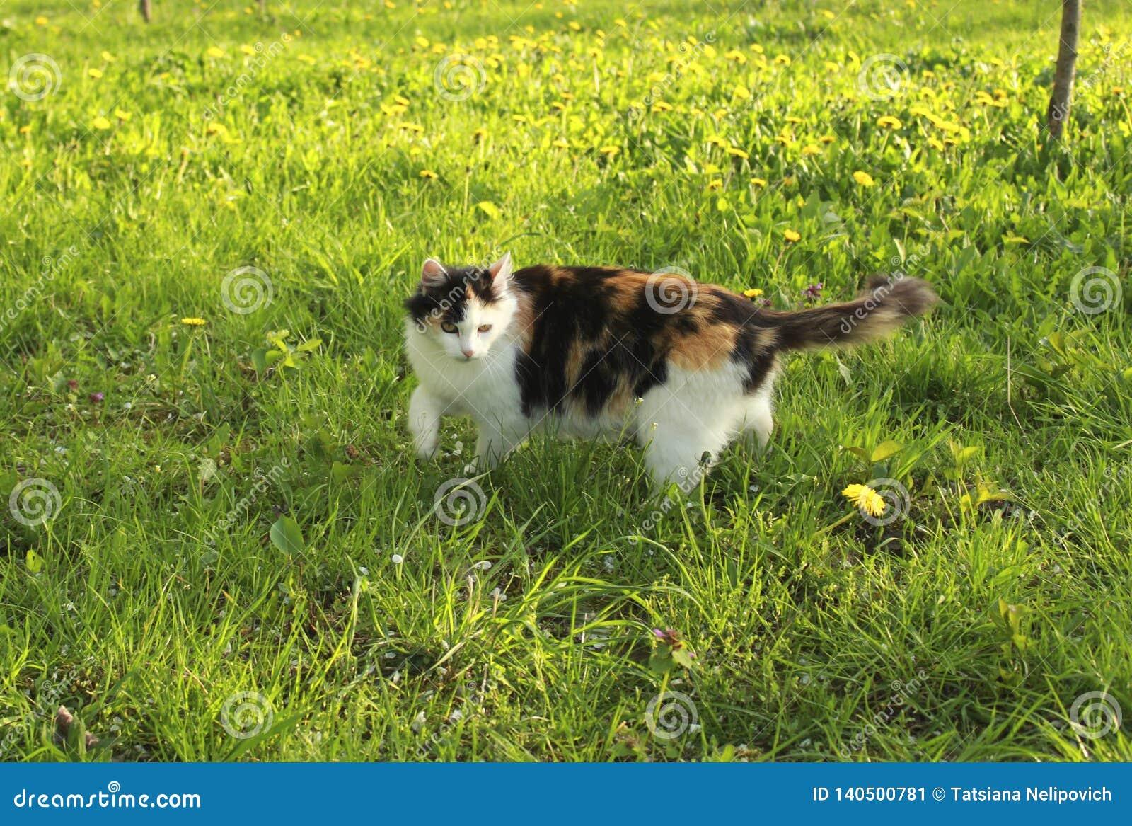 Härlig fluffig kalikåkatt i grönt gräs