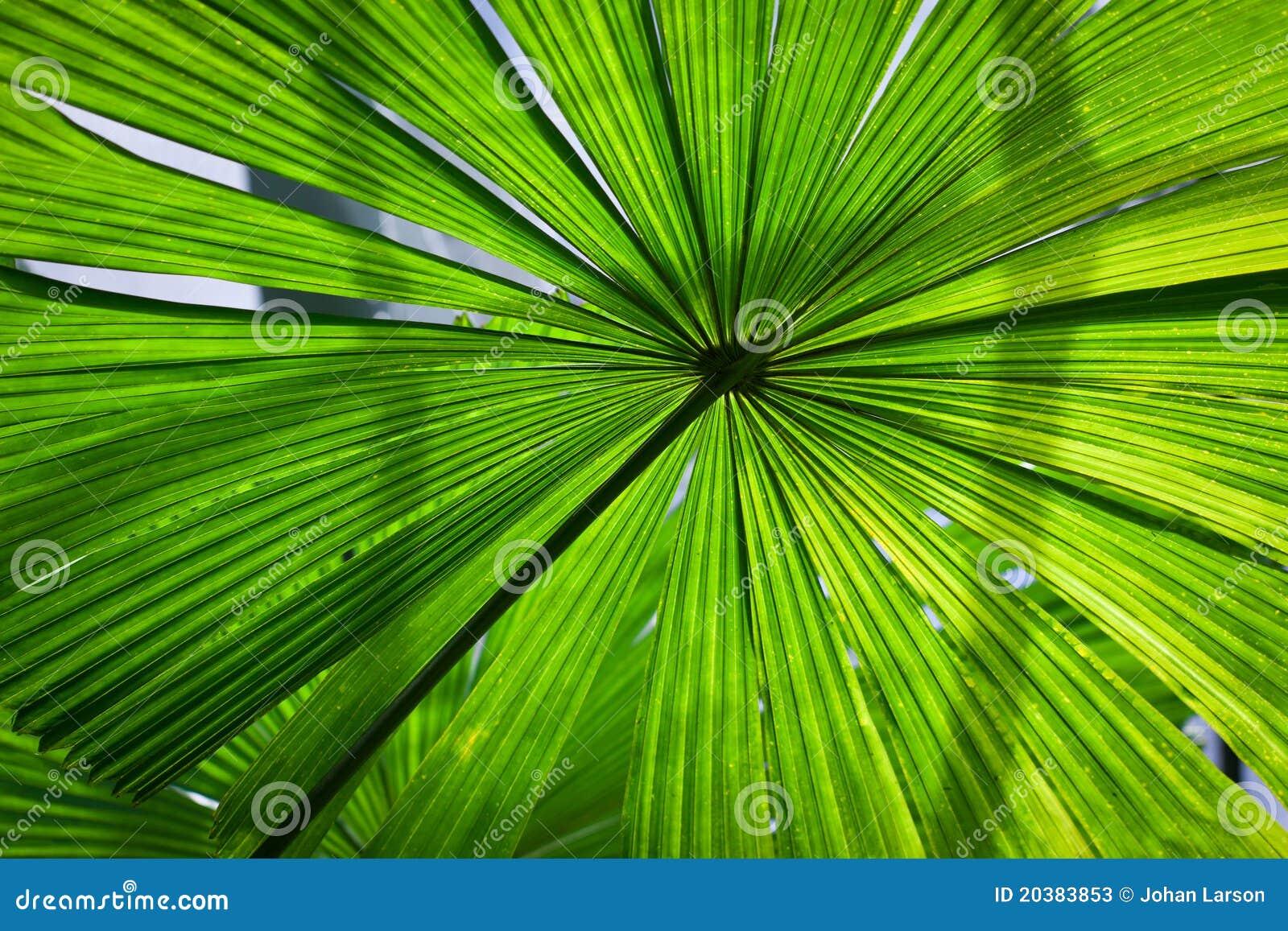 Härlig frodig ventilatorormbunksbladgreen gömma i handflatan