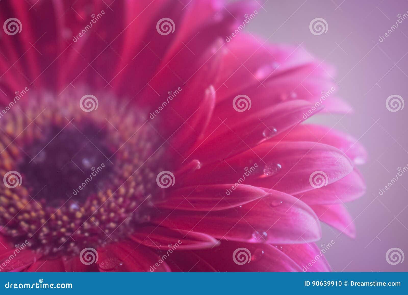 Härlig Gerberablomma och violett droppbakgrund för blomning