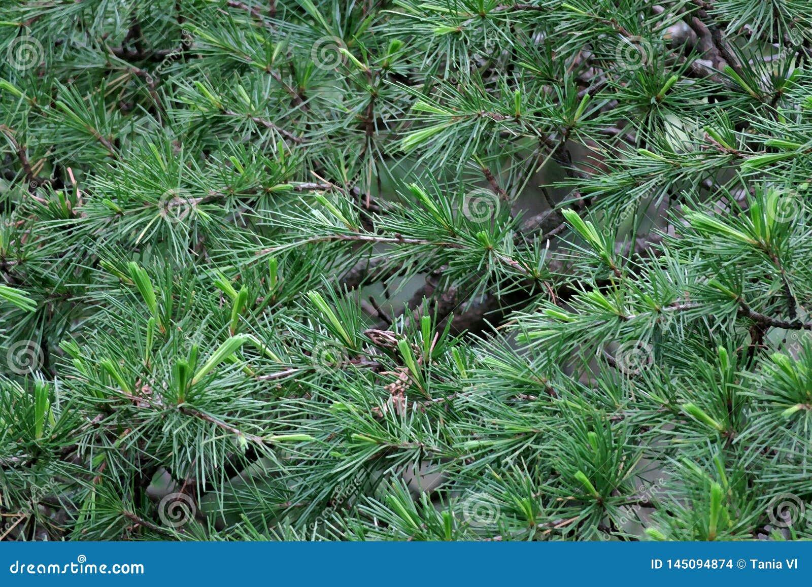 Härlig grön bakgrund från filialerna av sörjer visarnärbild