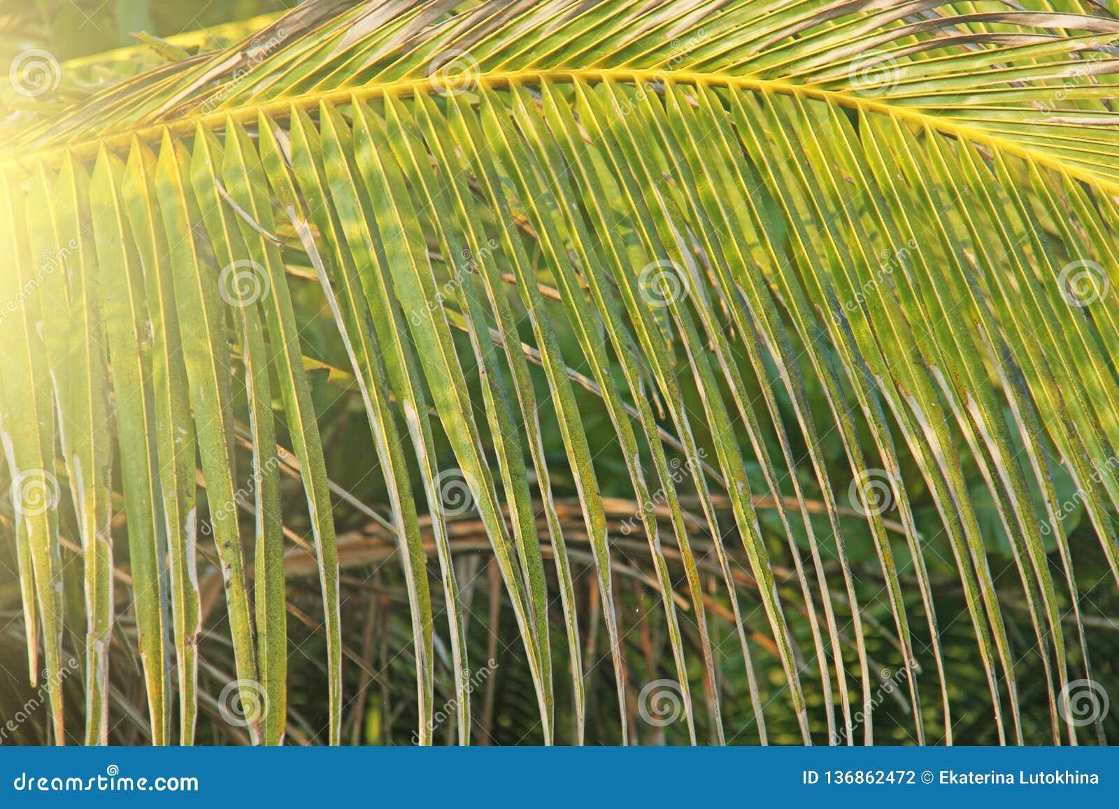 Härlig grön palmblad och sol Grön bakgrund av palmträd exotiskt tropiskt för bakgrund kopiera avstånd
