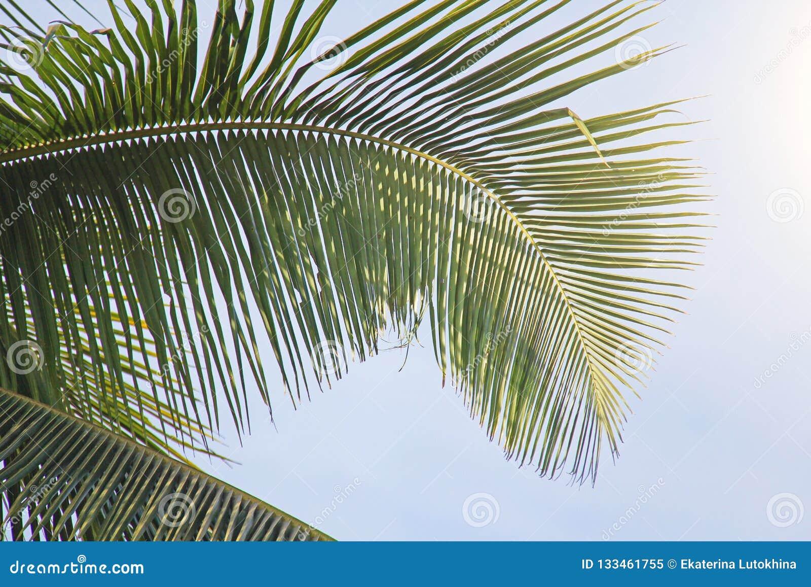 Härlig grön palmblad och sol Grön bakgrund av palmträdet