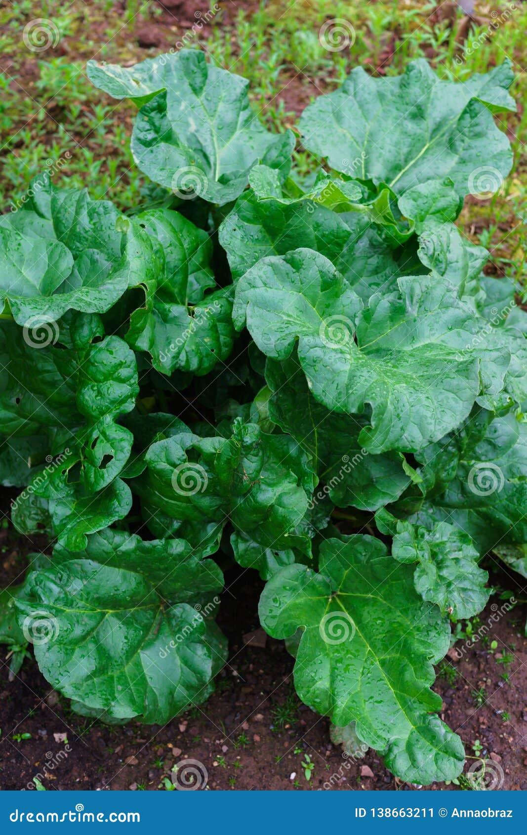 Härlig grön rabarberbuske i trädgården
