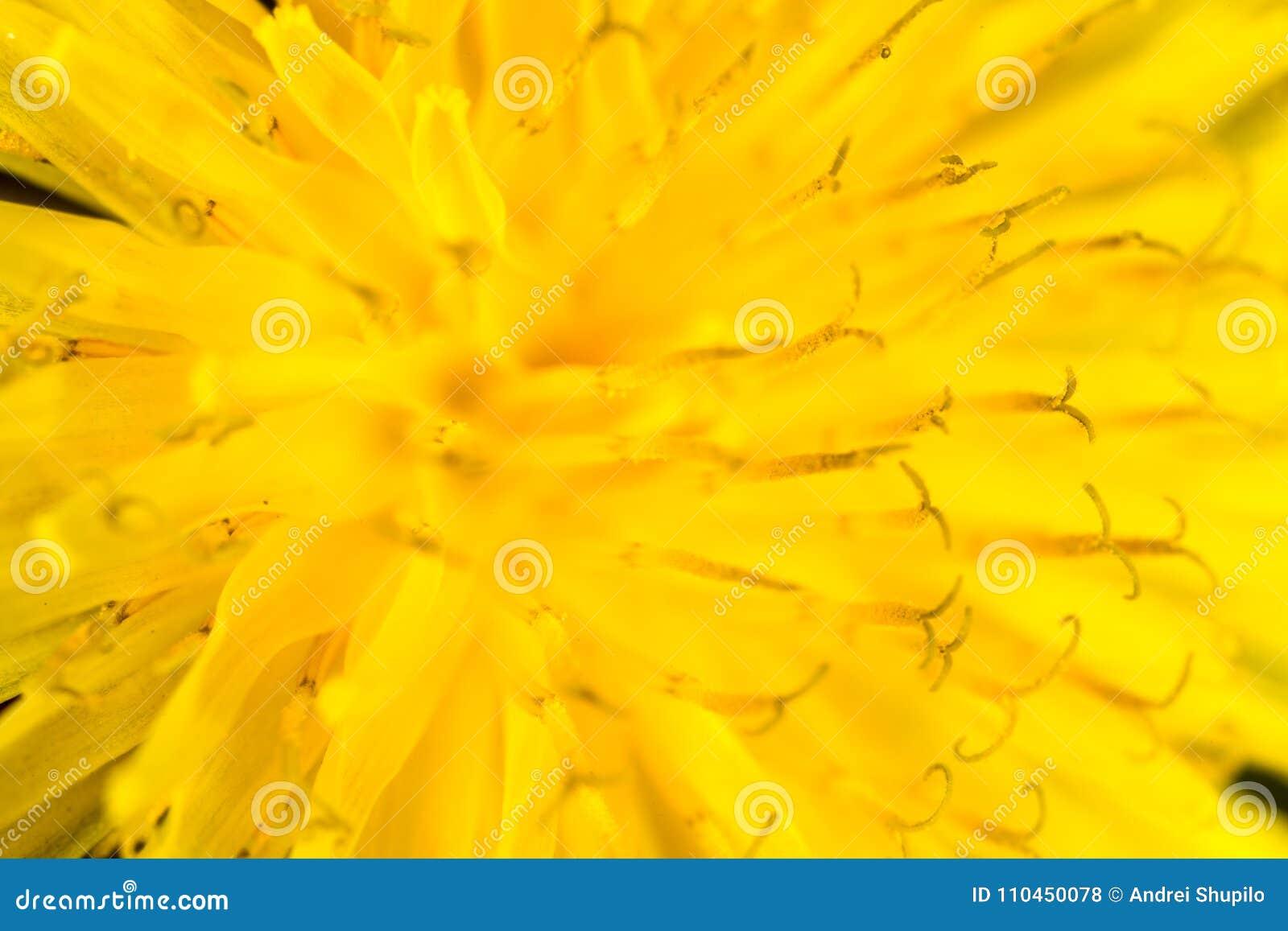 Härlig gul maskrosblomma Makro
