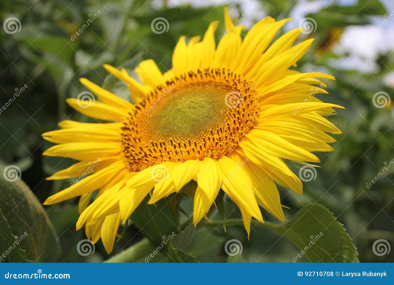 Härlig gul solros i sommar i fältet