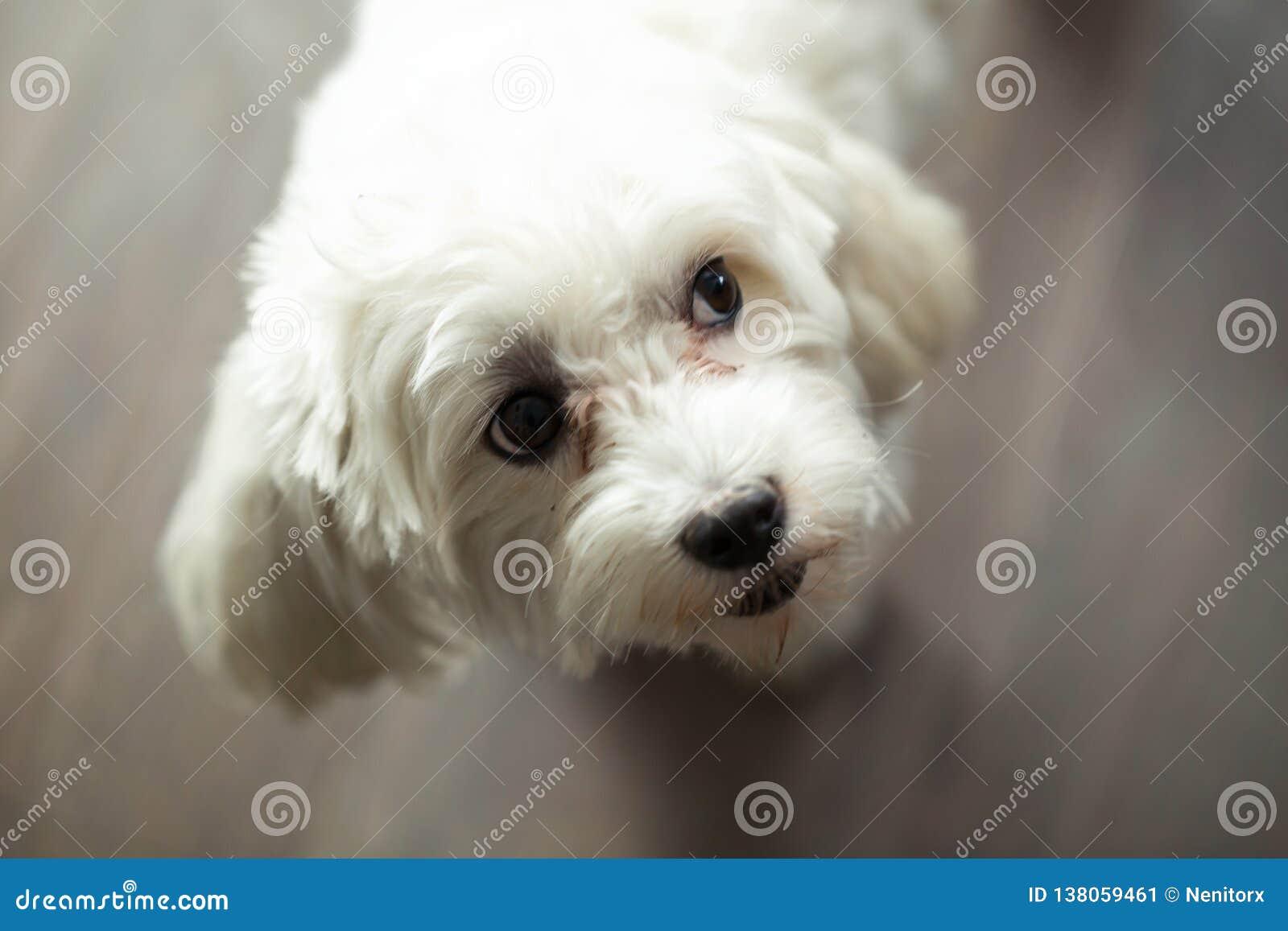 Härlig hund som vippar på hennes huvud med ett nyfiket uttryck, medan se från sidan hemma